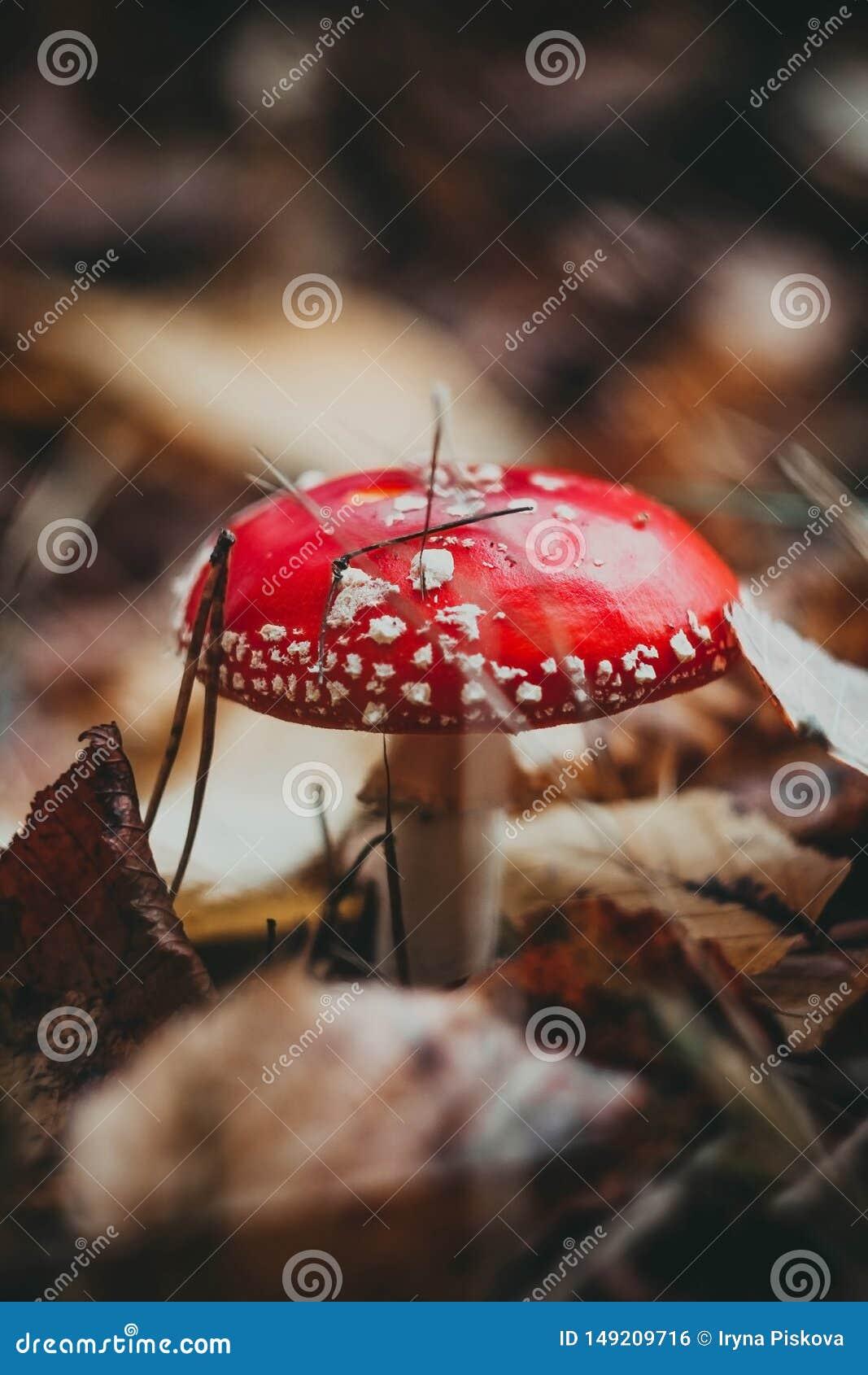 Crecimiento de seta venenoso de la seta roja en el bosque, muscaria fungoso de la amanita del ag?rico de mosca
