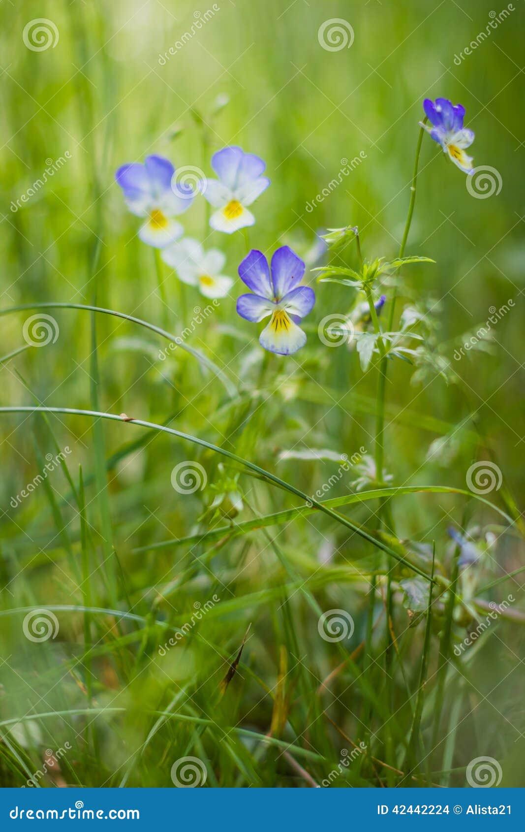 Crecimiento tricolor de la viola de los Wildflowers en hierba gruesa