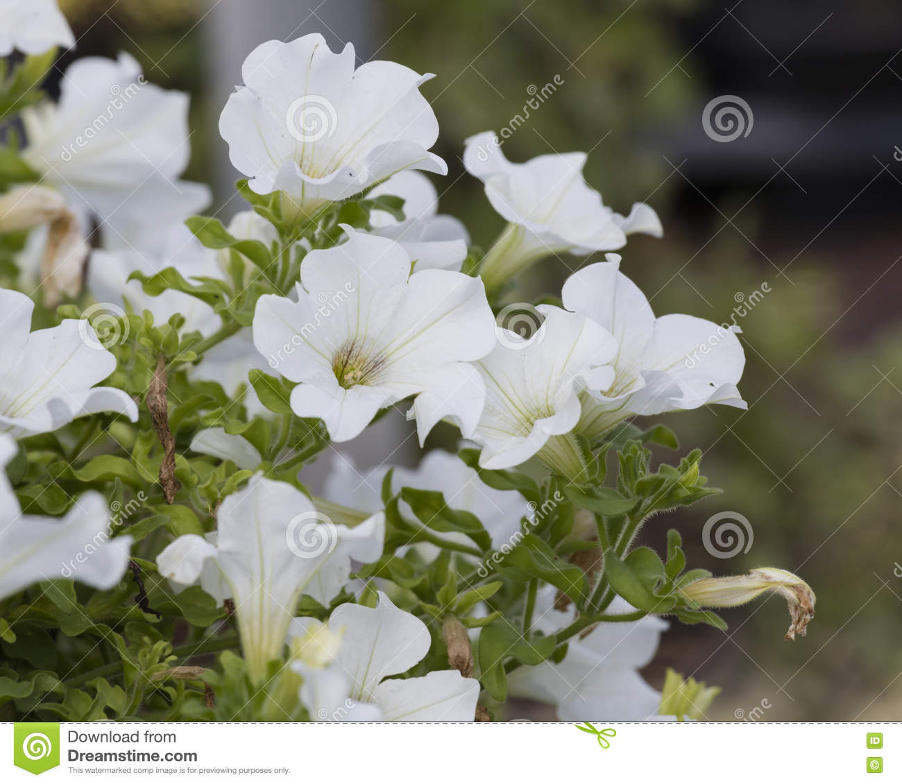 Creeper White Bell Flower Stock Photo Image Of Leaves 75481826
