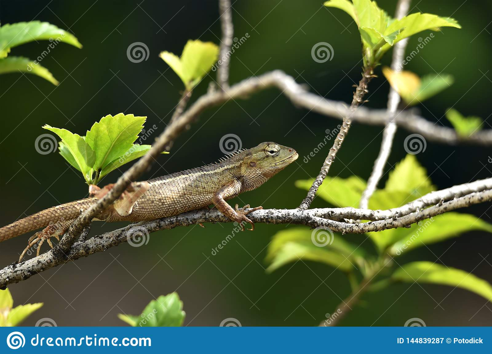 The creeping animals that live in these trees are called grayish brown chameleons