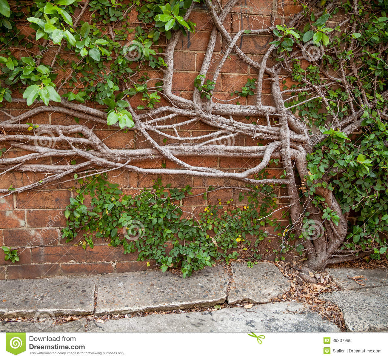Creeping Fig Growing Out Of Concrete And Up A Brick Wall