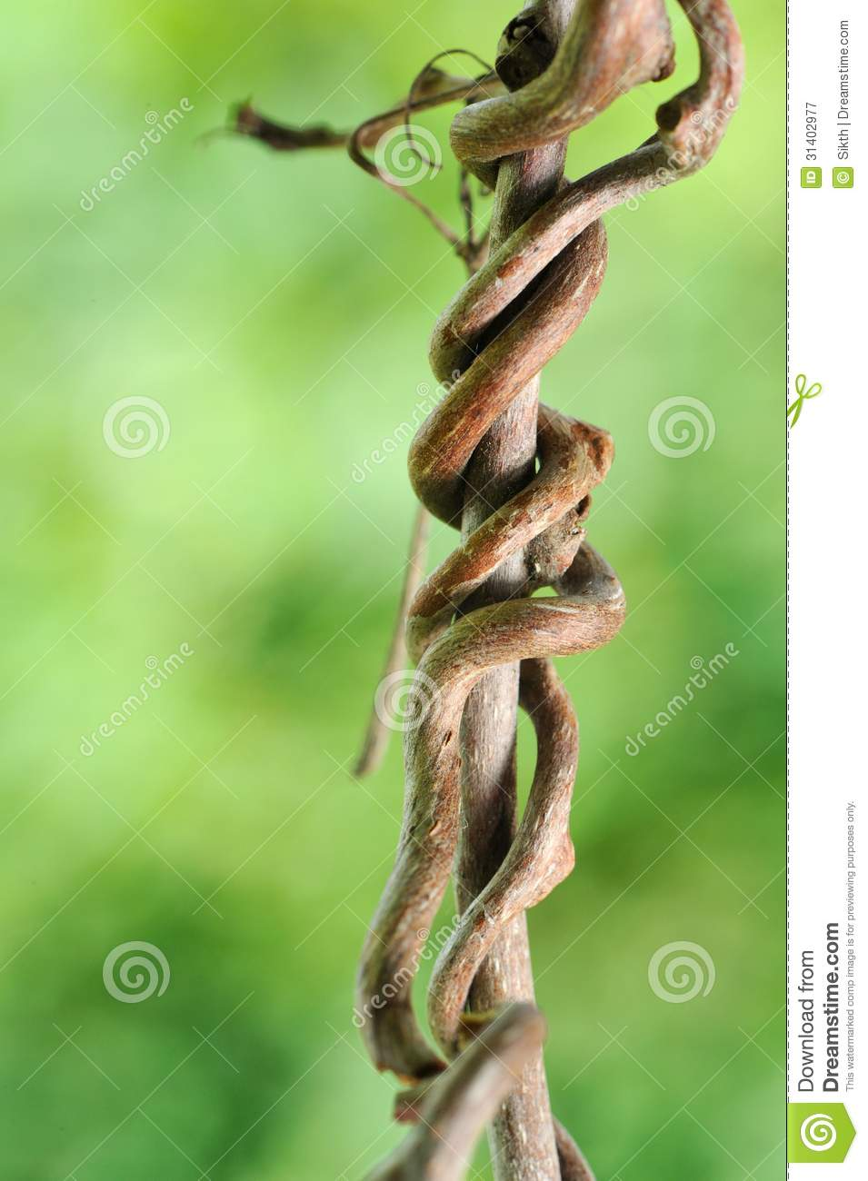 creeping grape branch royalty free stock photography grape vine clip art free grape vine clip art images