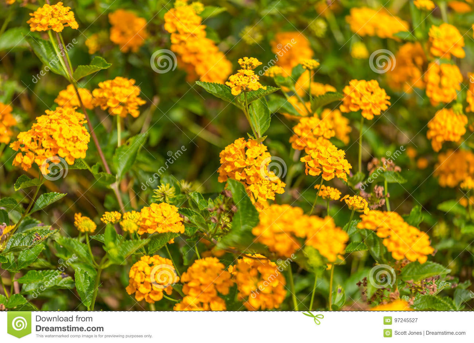 Creeping Lantana Stock Image Image Of Spread Grass 97245527