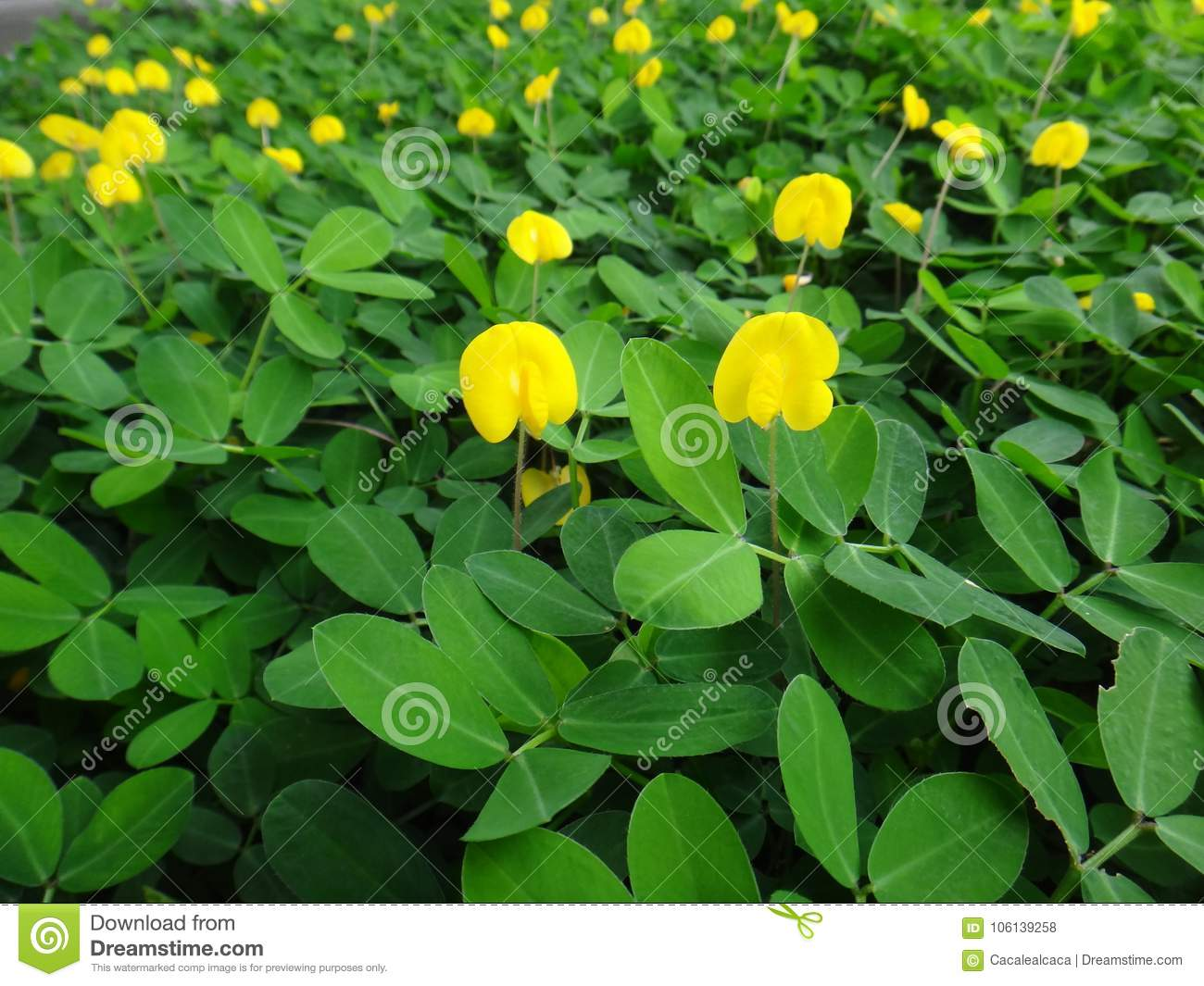 Plant Of The Creeping Peanut With Small Yellow Flowers Stock Photo