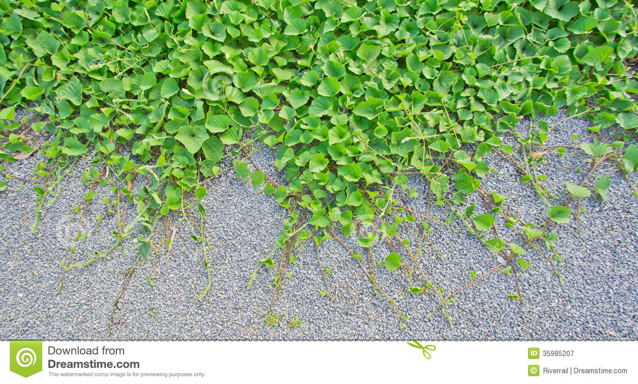 creeping-plant-floor-as-background-35985207 Crawling Houseplants on