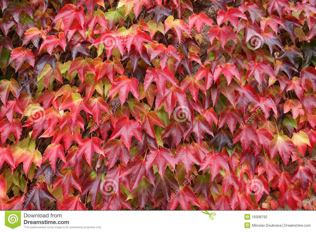 creeping plant with red leaves stock photography  image, Natural flower