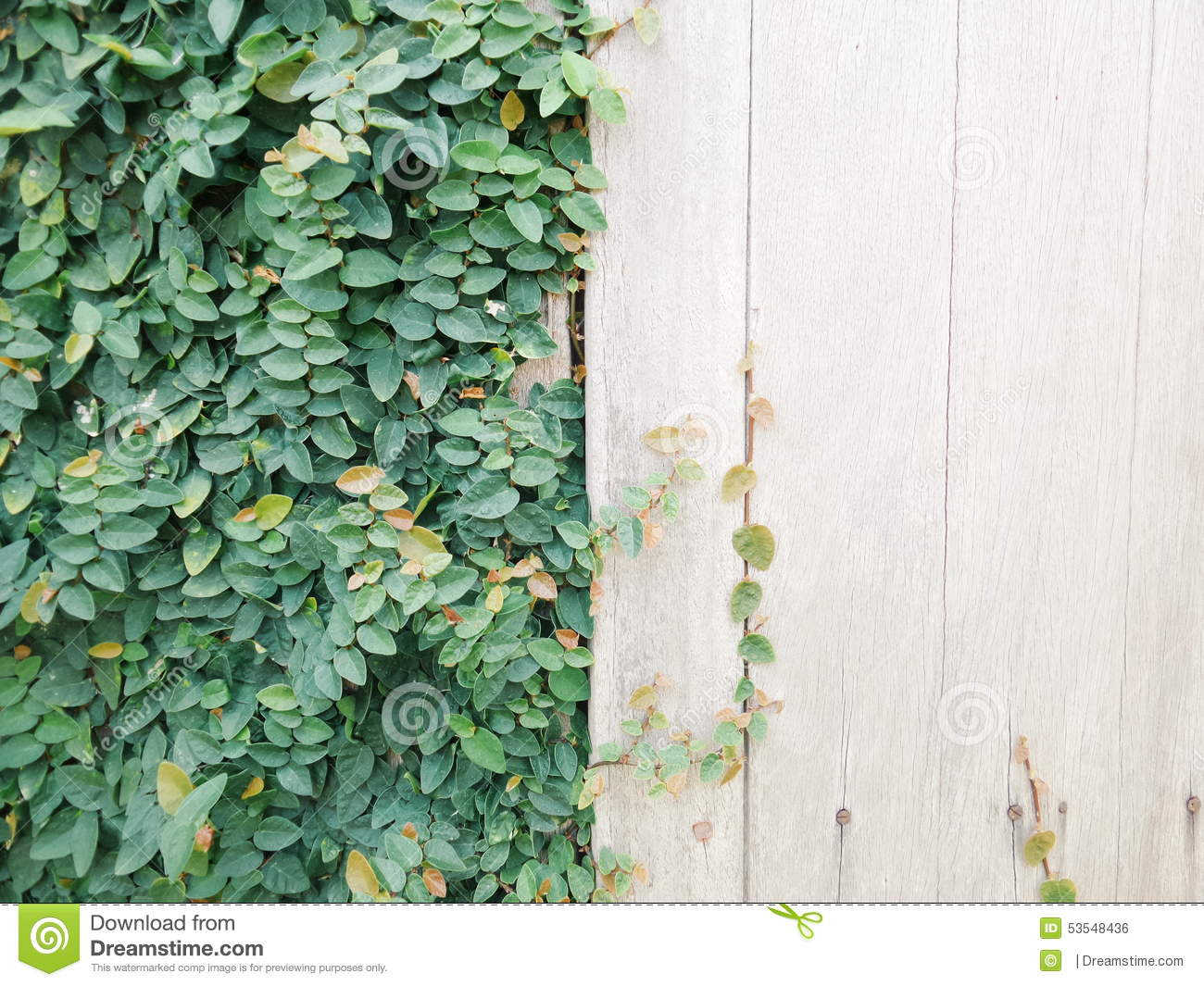 creeping rubber fig stock photo image 53548436