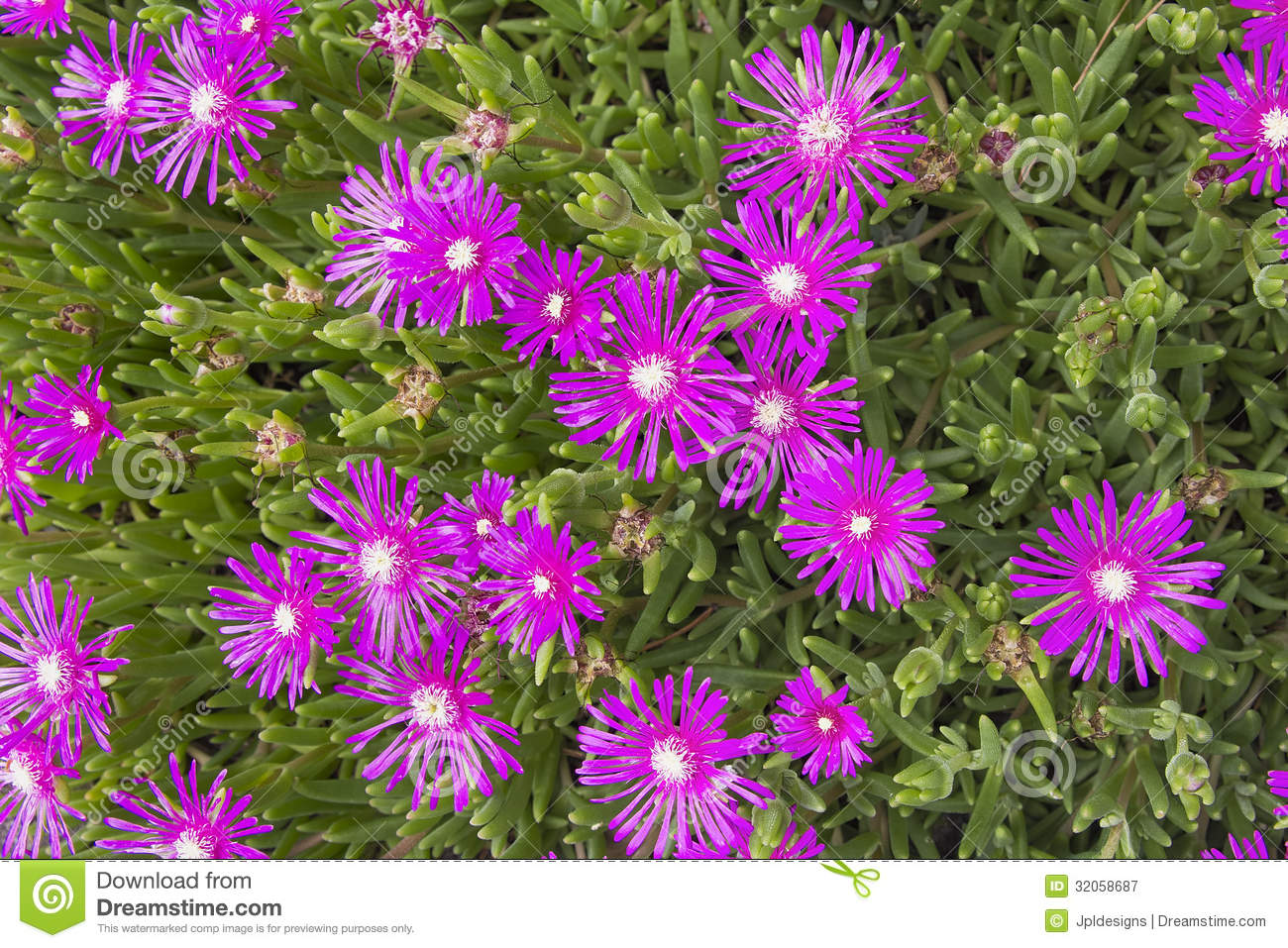 Creeping Shrubby Ice Plant Royalty Free Stock Photography - Image ...