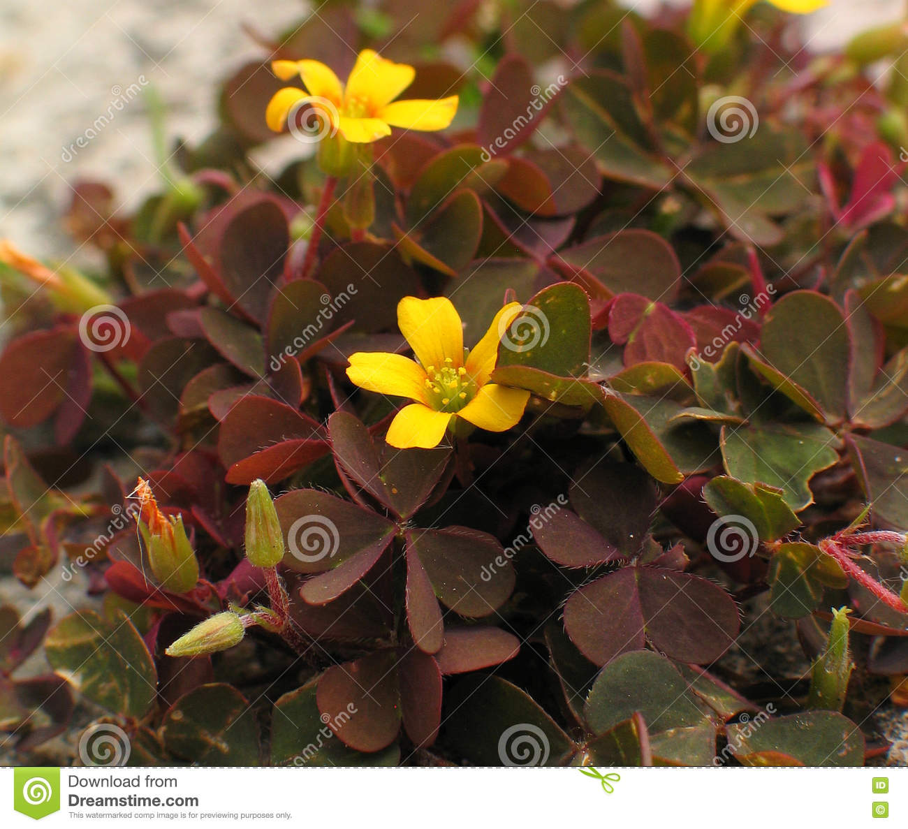 Creeping Woodsorrel leaves, flowers & fruits
