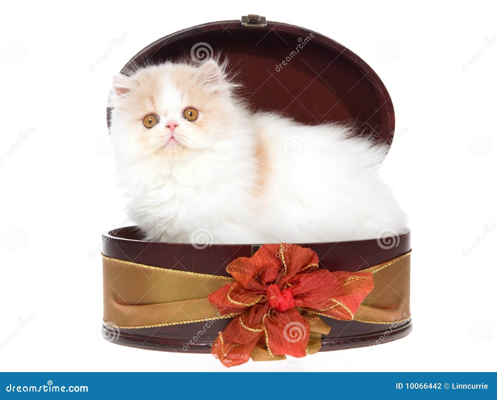 Creme e gatinho persa branco na caixa de presente