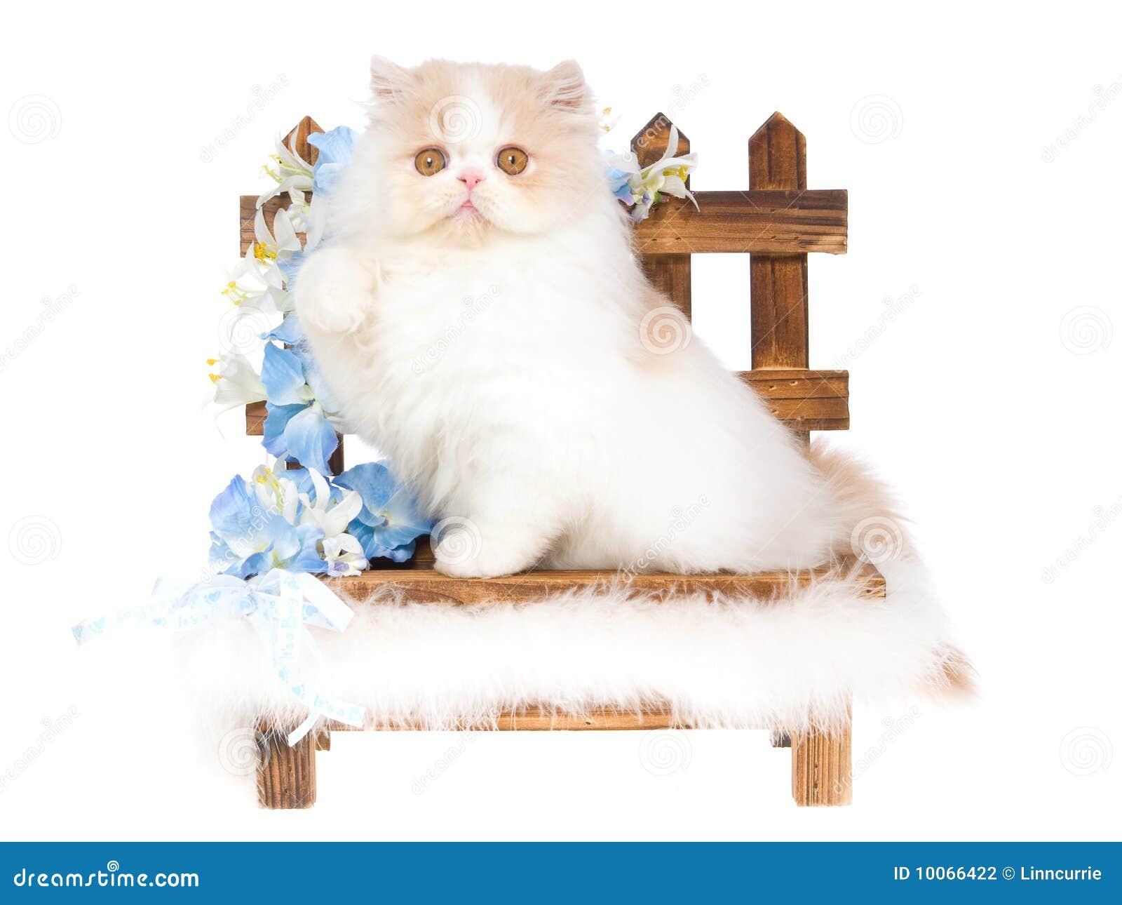 Creme e gatinho persa branco no bnehc de madeira