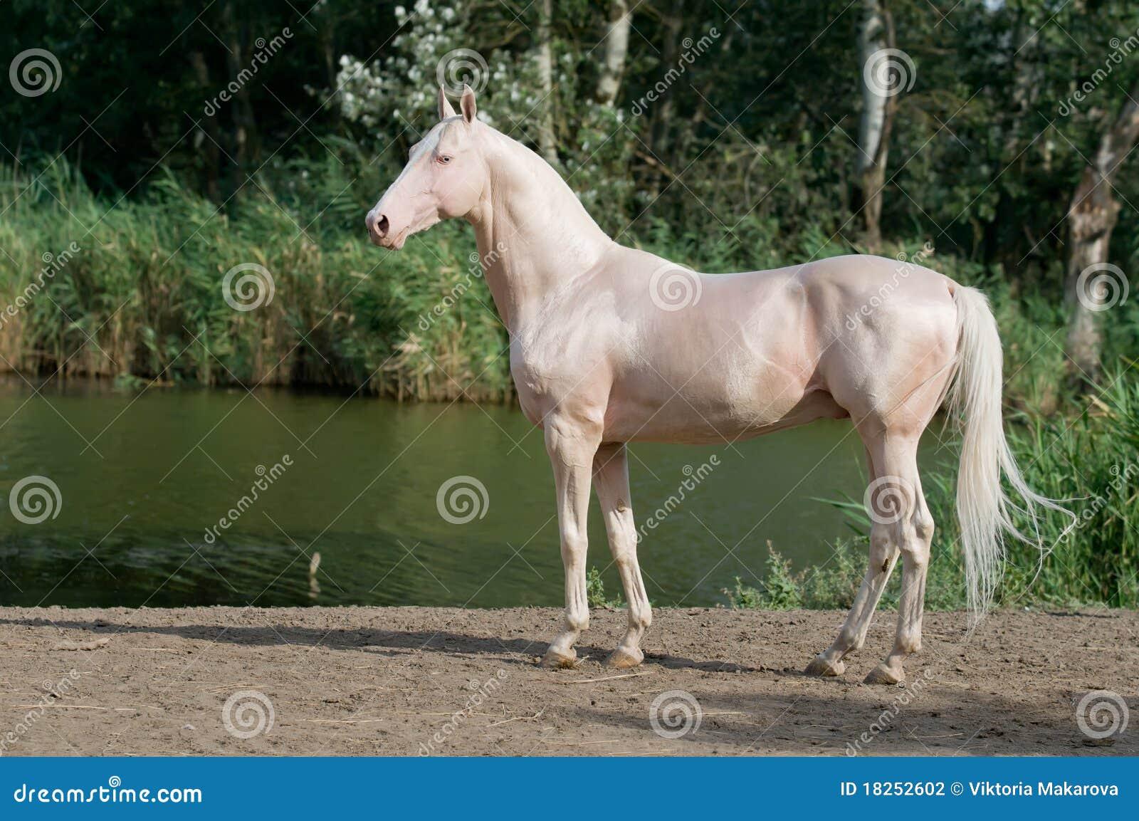 Cremello akhal-teke horse stallion portrait