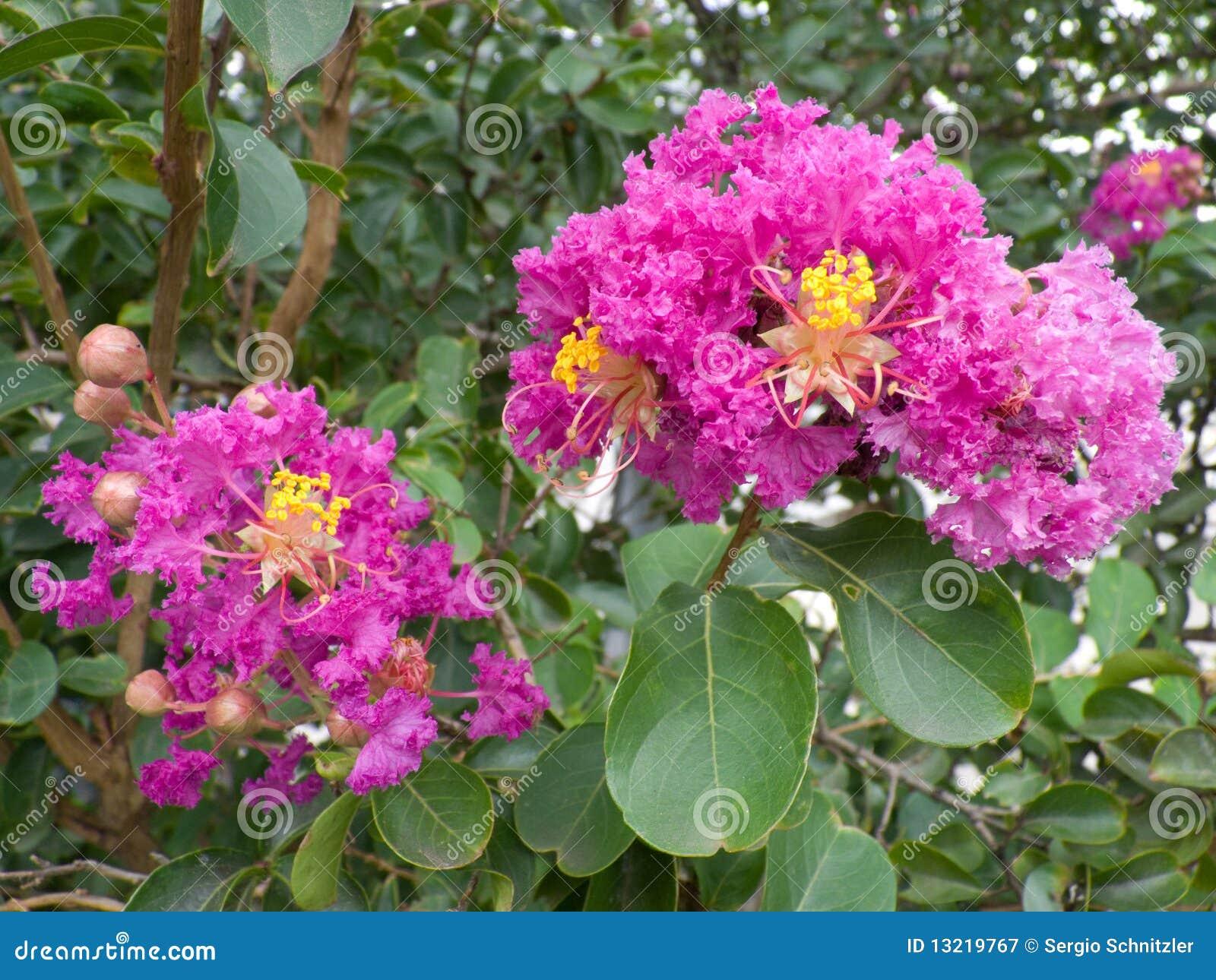 Crepe Myrtle de la lila con las flores