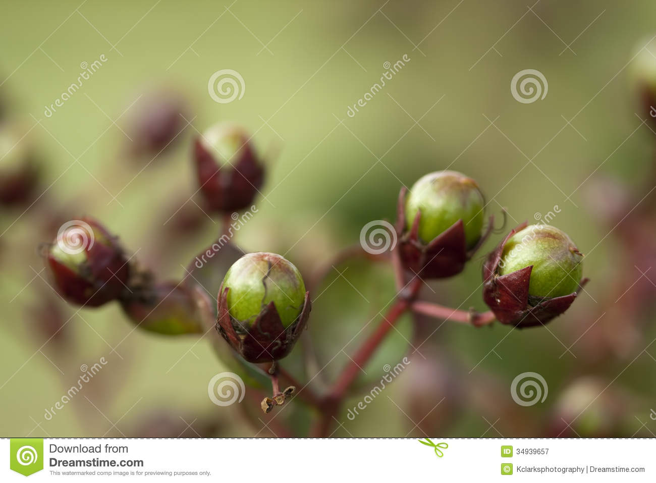 Crepe Myrtle Seed Pods Background Stock Image Image Of