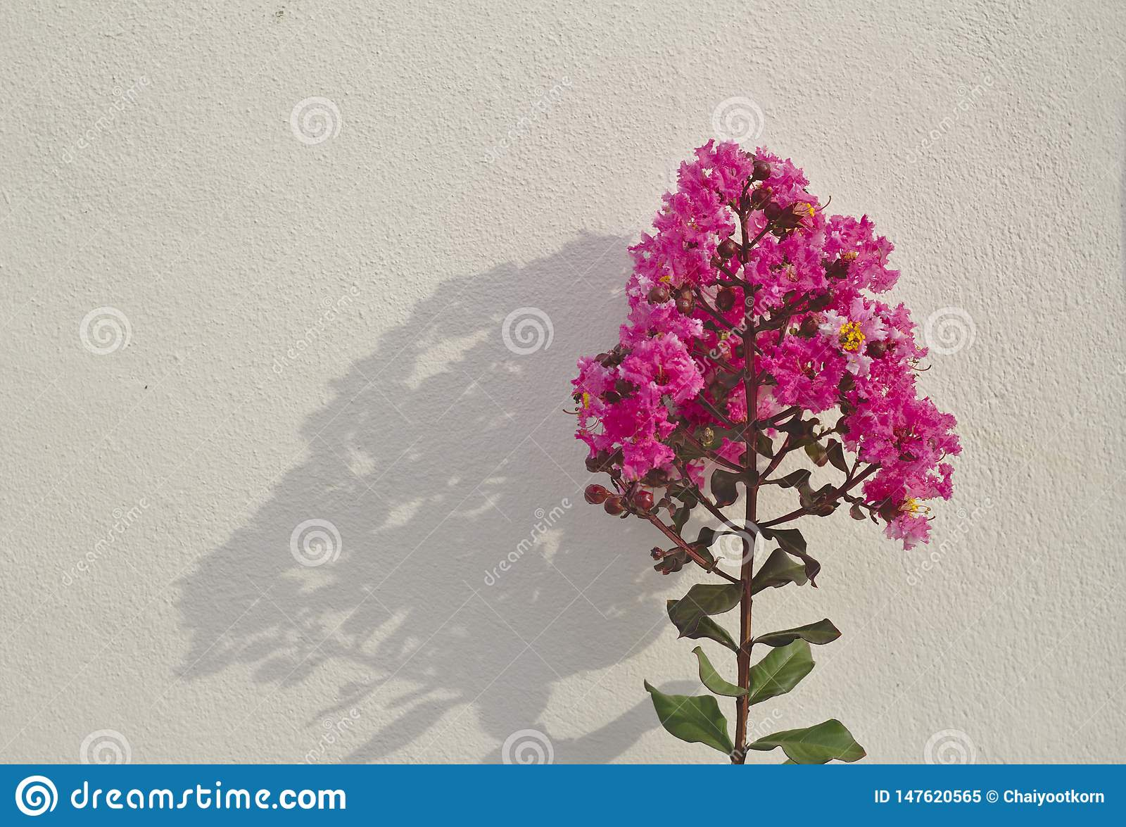 Crepe myrtle tree, bright pink inflorescence Green leaves Reflection background on a white wall