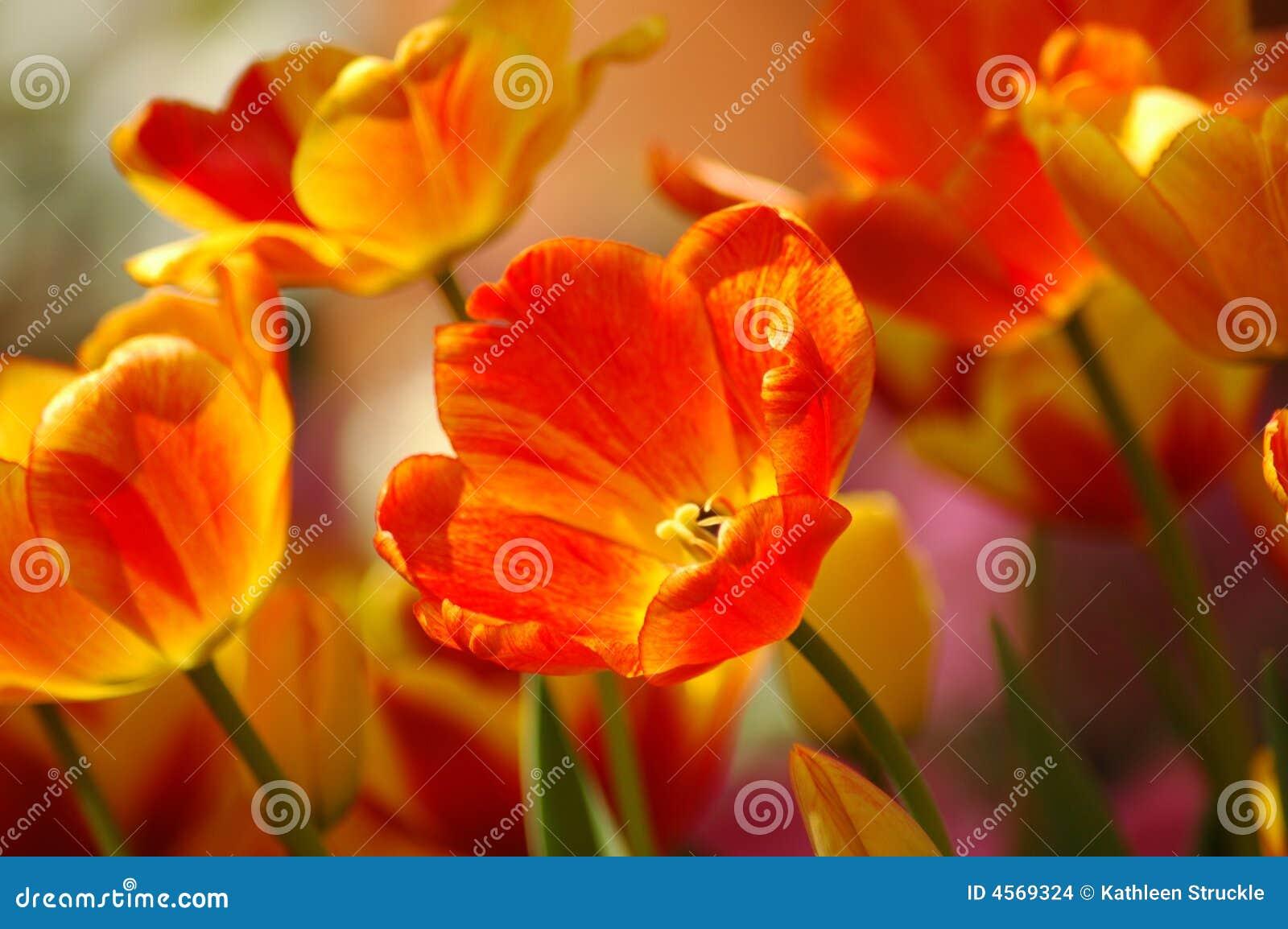 Crescimento alaranjado & amarelo dos Tulips