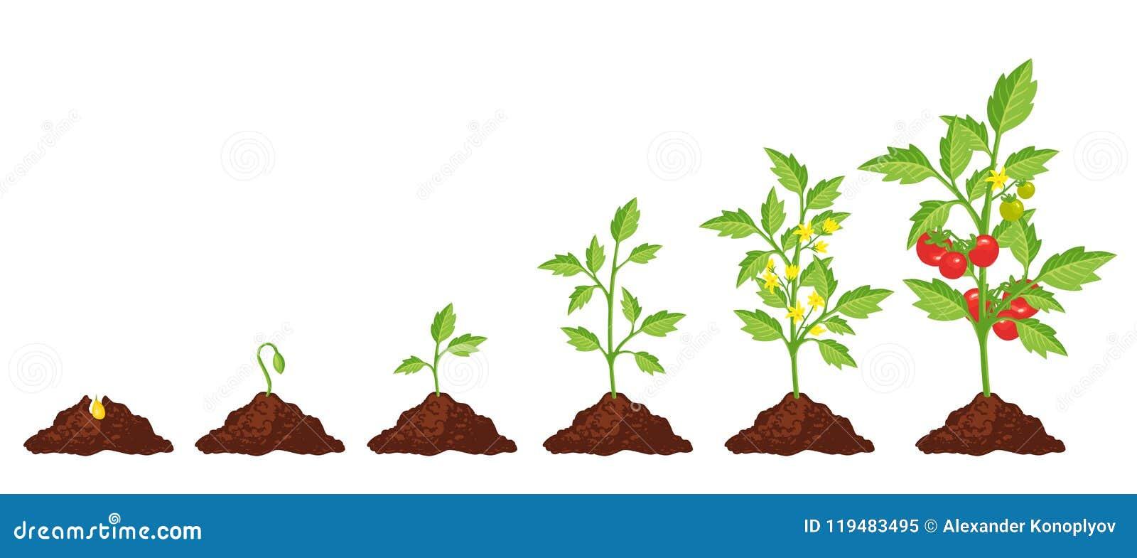 Crescimento da fase do tomate