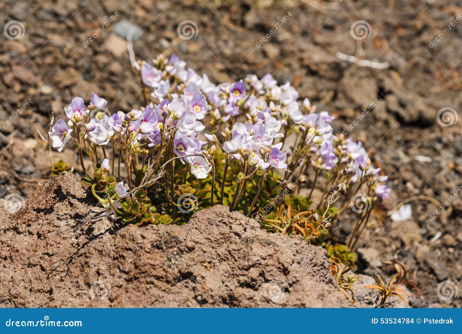 Crescimento de flores cor-de-rosa em rochas vulcânicas