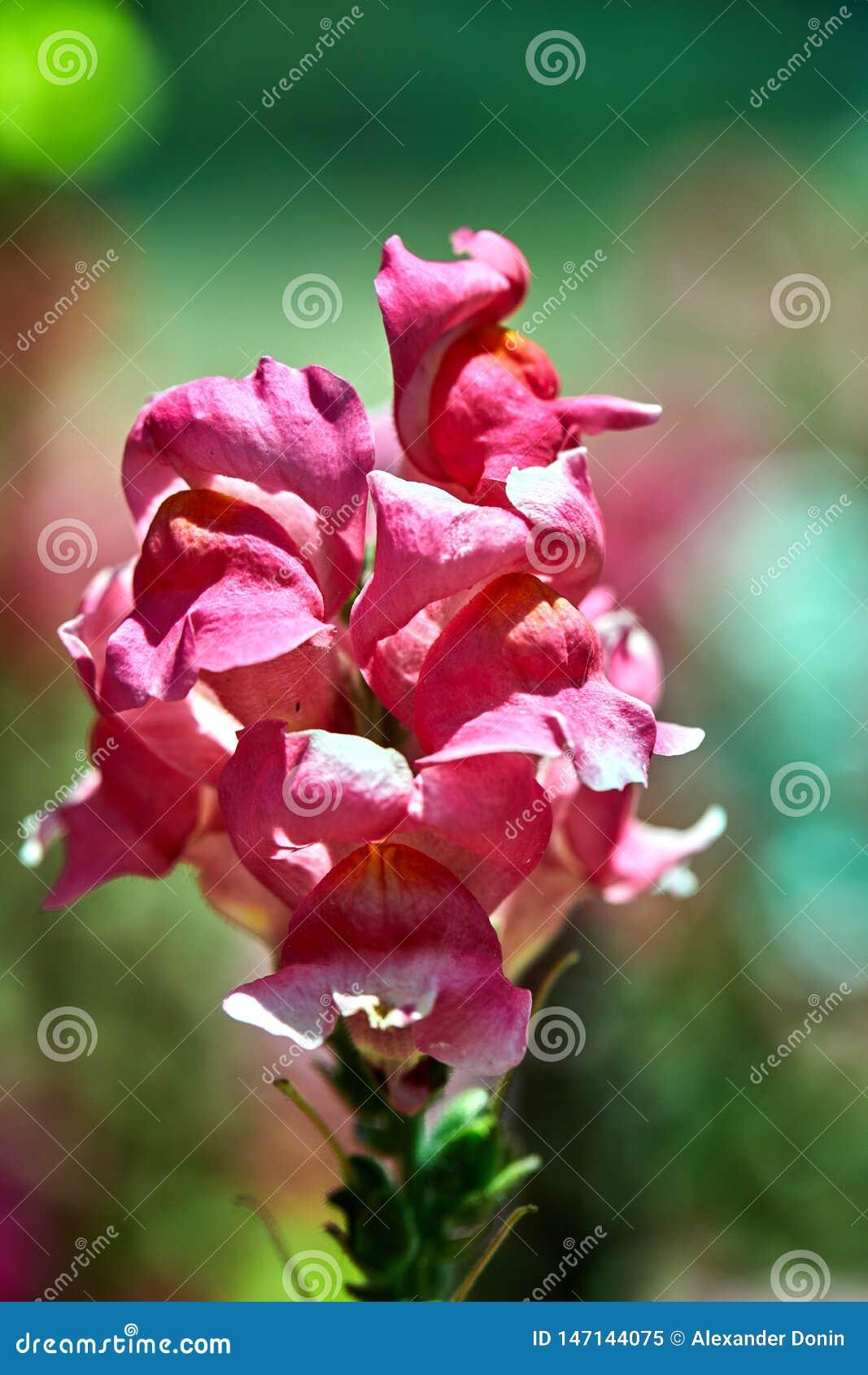 Crescimento de flores cor-de-rosa em um canteiro de flores
