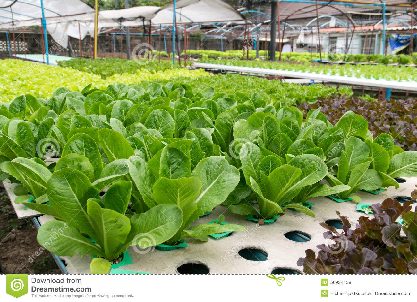 Crescimento de vegetais hidropônico na estufa