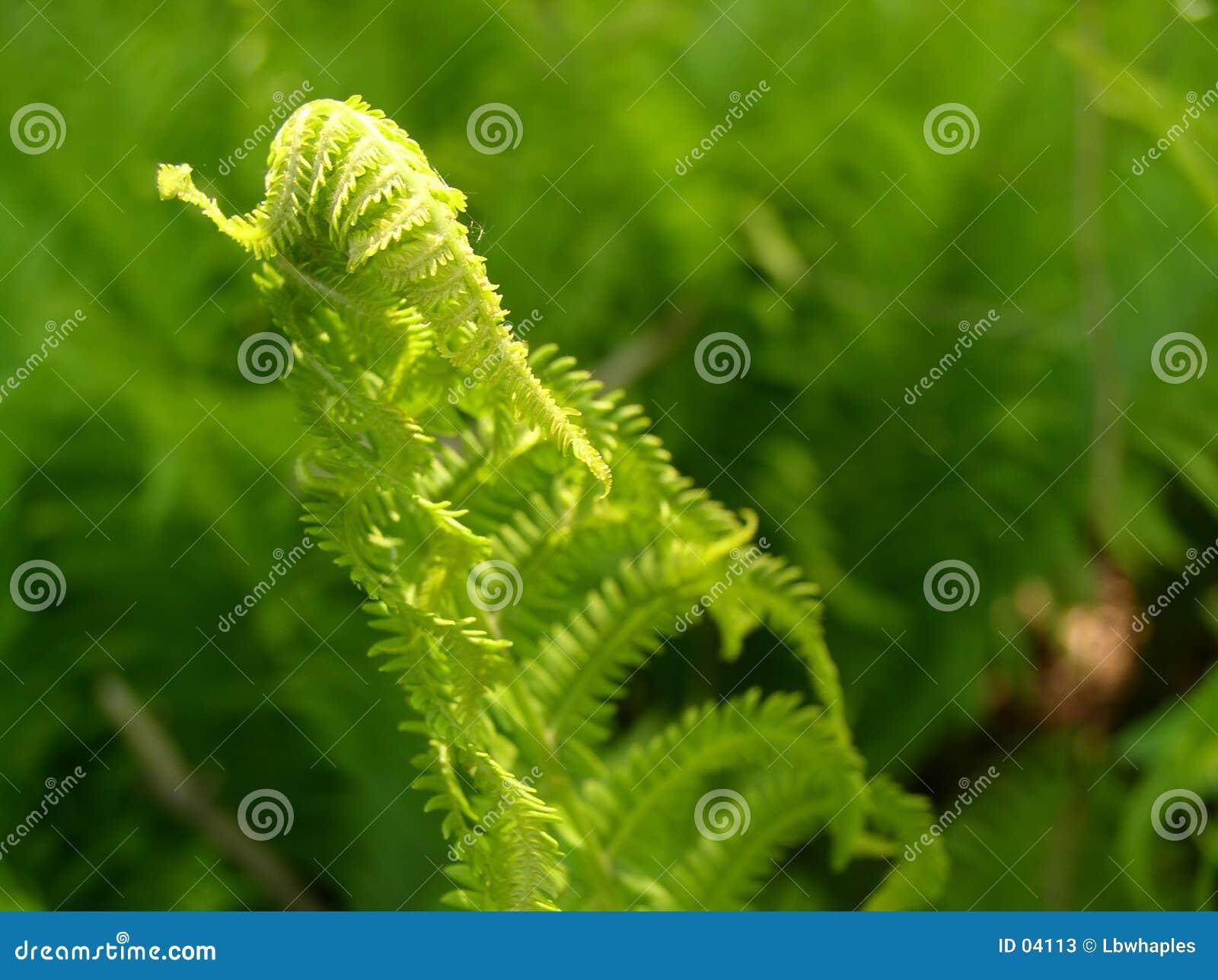Crescimento do Fern