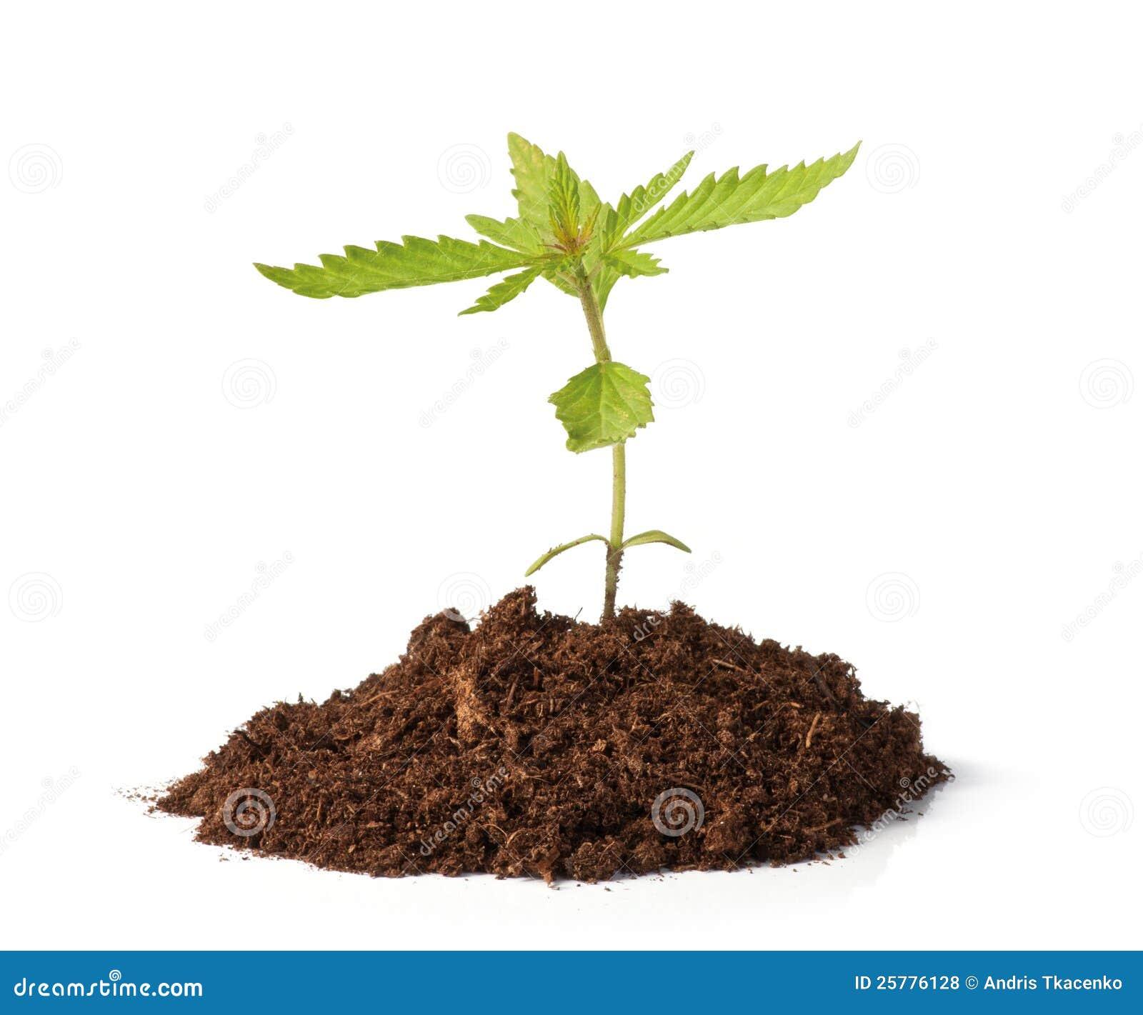 Crescimento pequeno do sprout do cânhamo