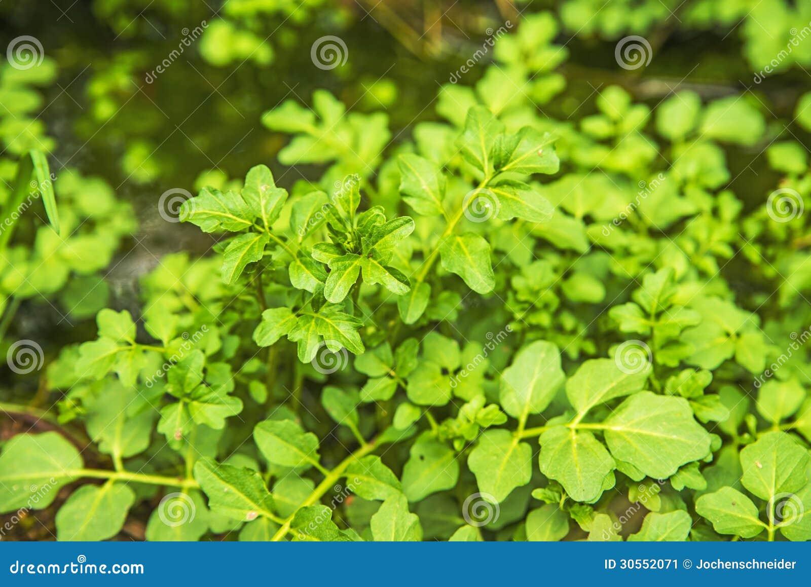 Crescione acquatico, nasturtium officinale