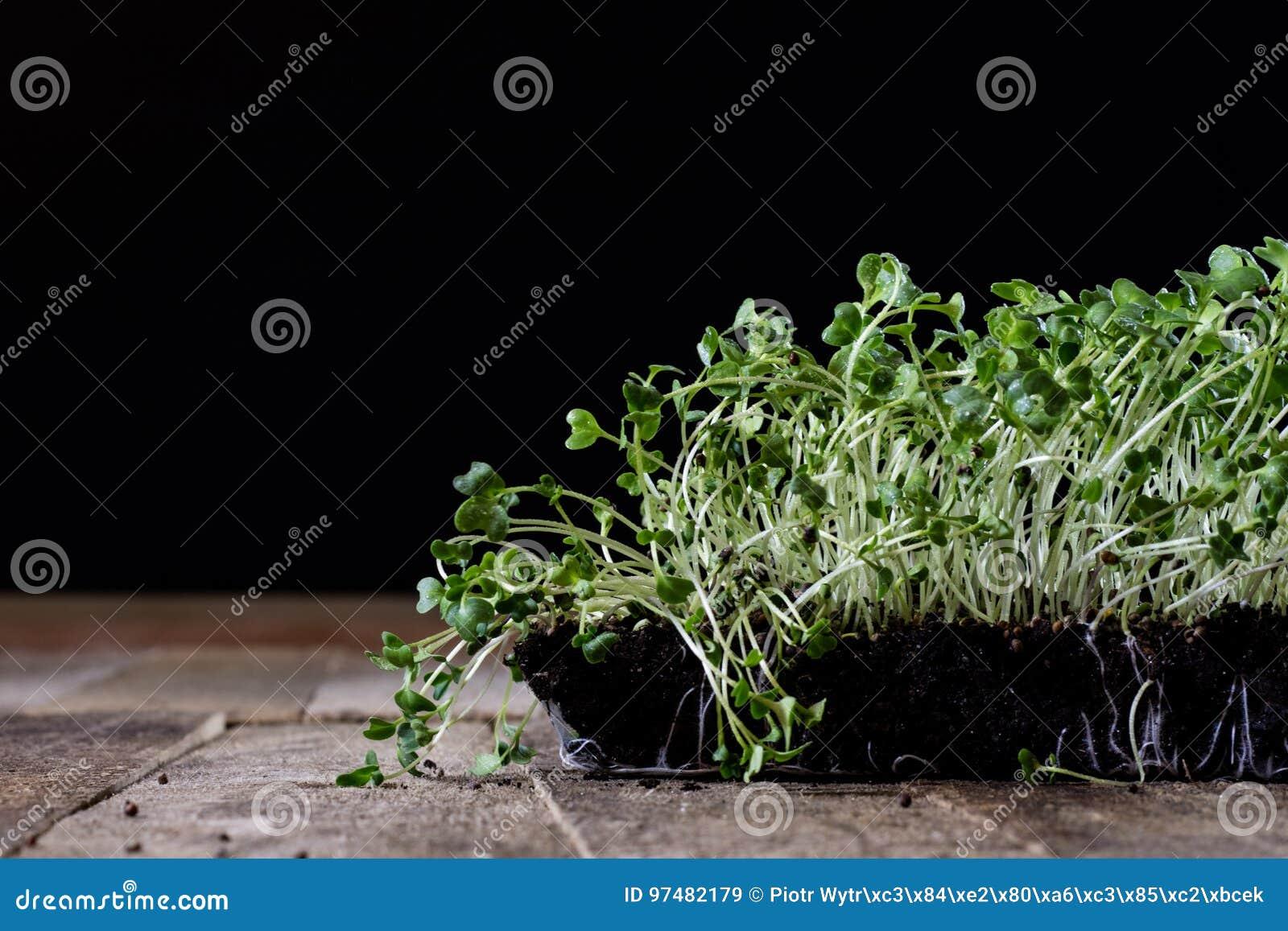 Crescione fresco dei germogli Terra nera Tabella di legno Vaso da fiori in Th