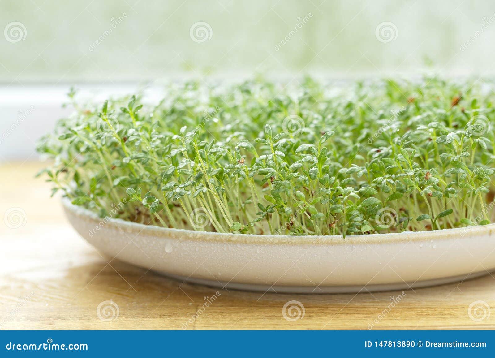 Crescione fresco sulla tavola di legno Micro verdi crescenti Germogliare Cress Salad Seeds Fuoco selettivo