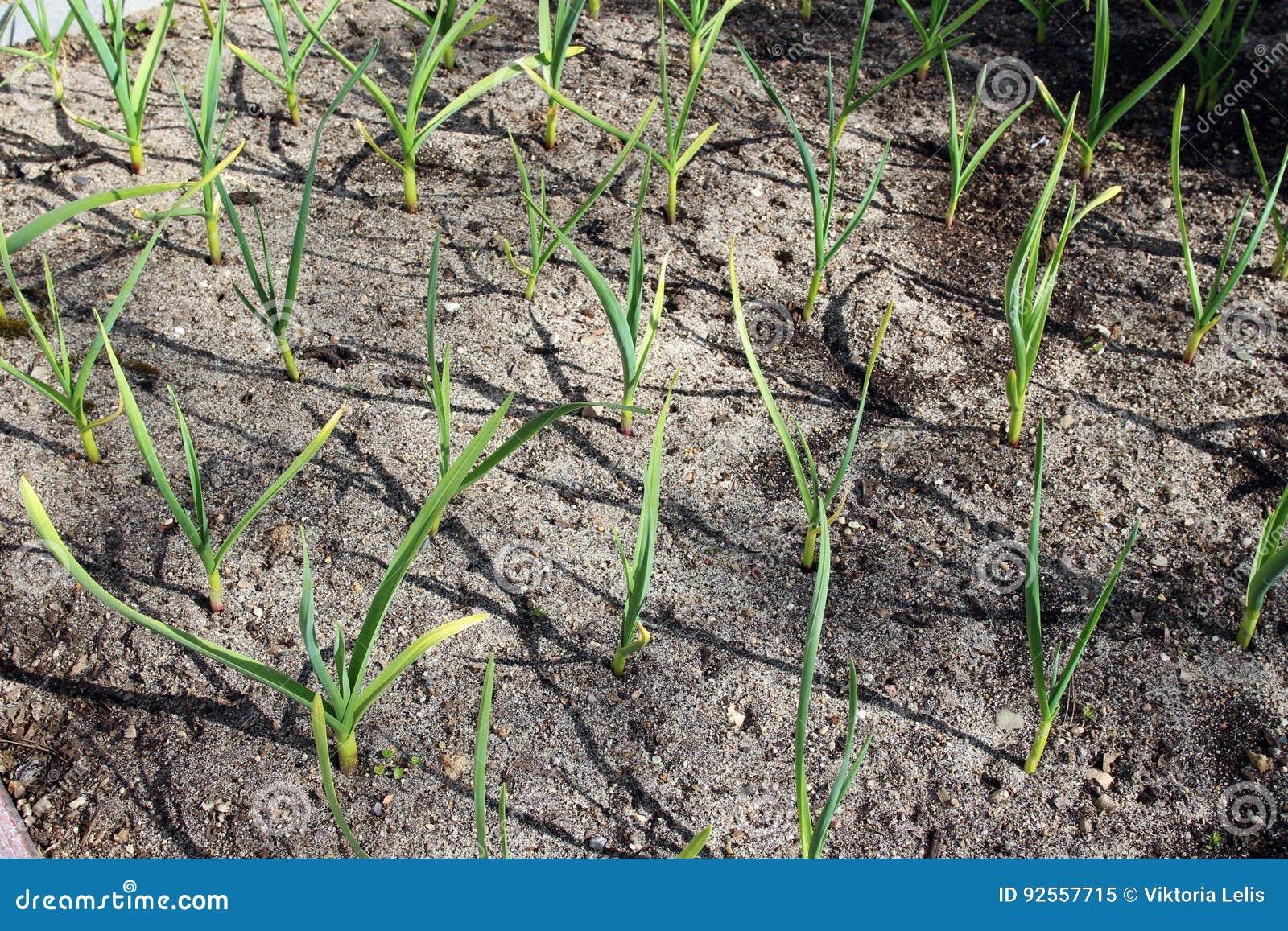Crescita dell aglio