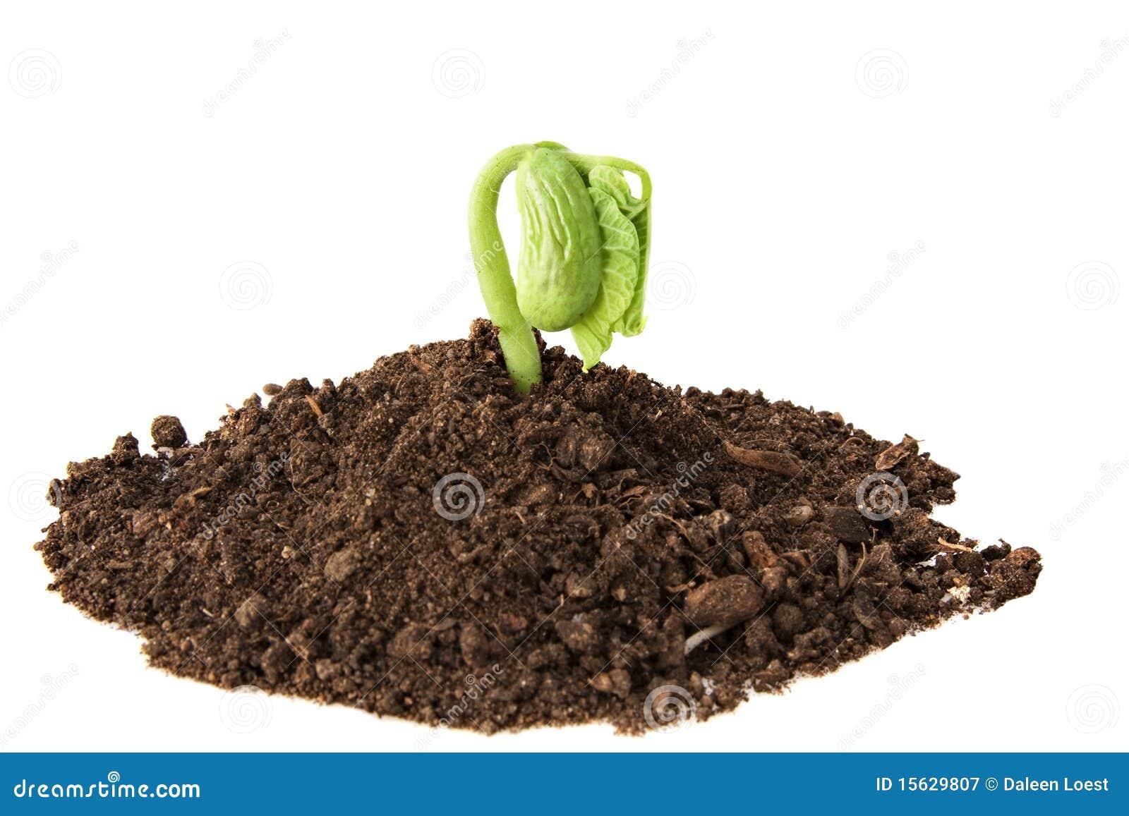 Crescita della pianta di fagiolo fotografia stock libera for Pianta di more