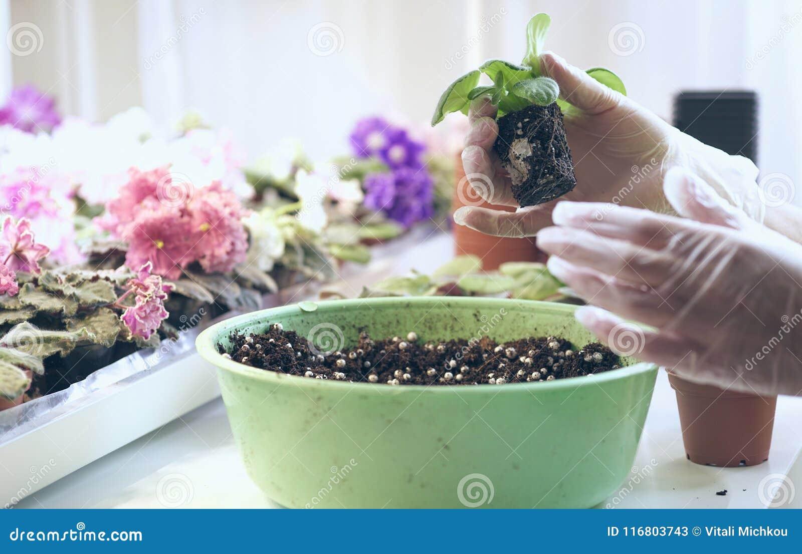 Crescita viola come svilupparsi viola Fiori del trapianto in vasi Viole del trapianto del fiorista piccole