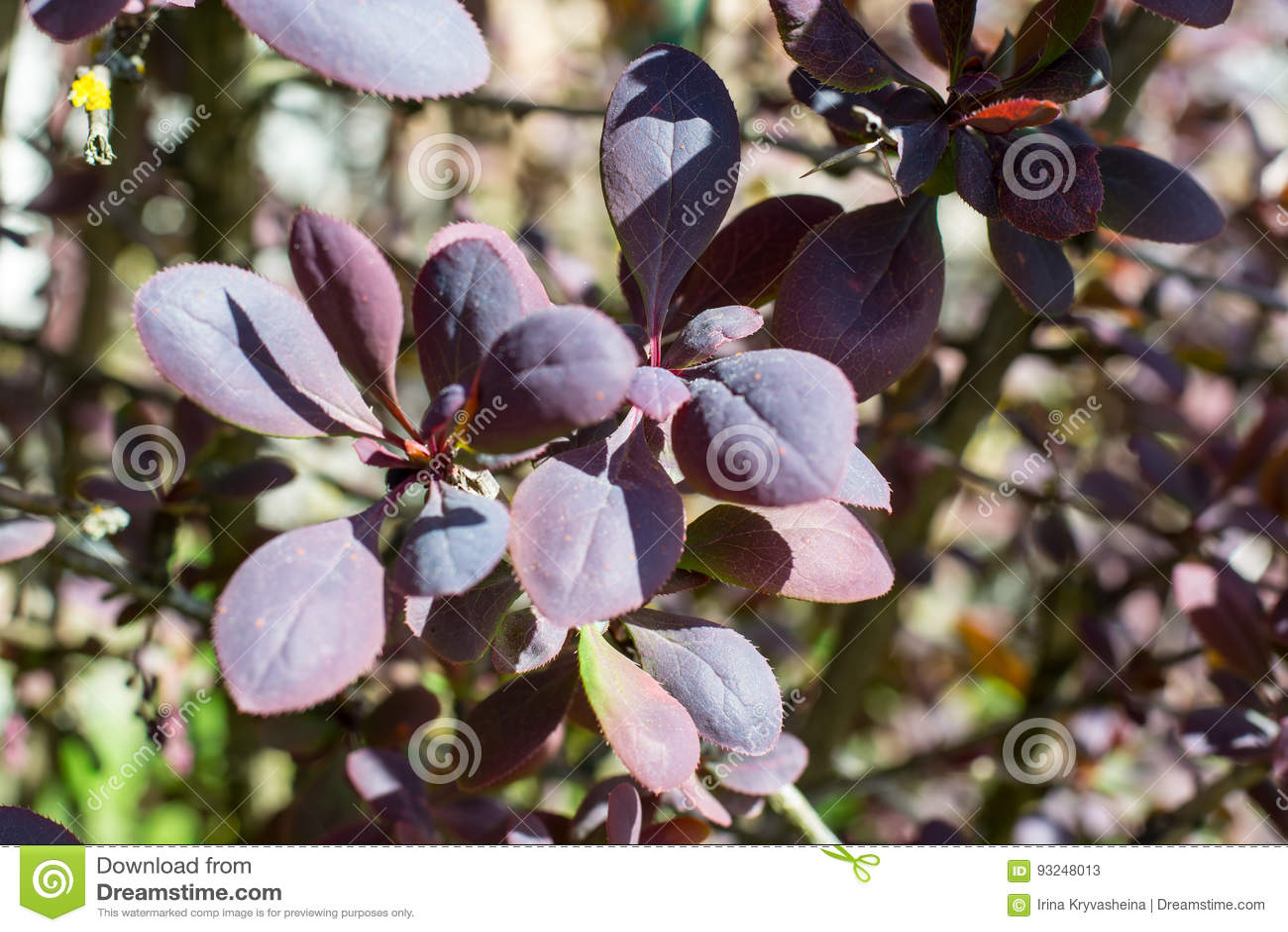 Arbusti Decorativi Da Giardino : Arbusti rossi da giardino nateeja una collezione di