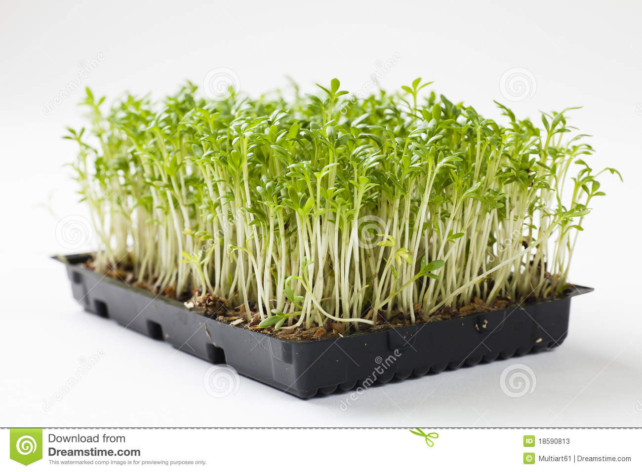 Close up of fresh plants of cress, shallow focus.