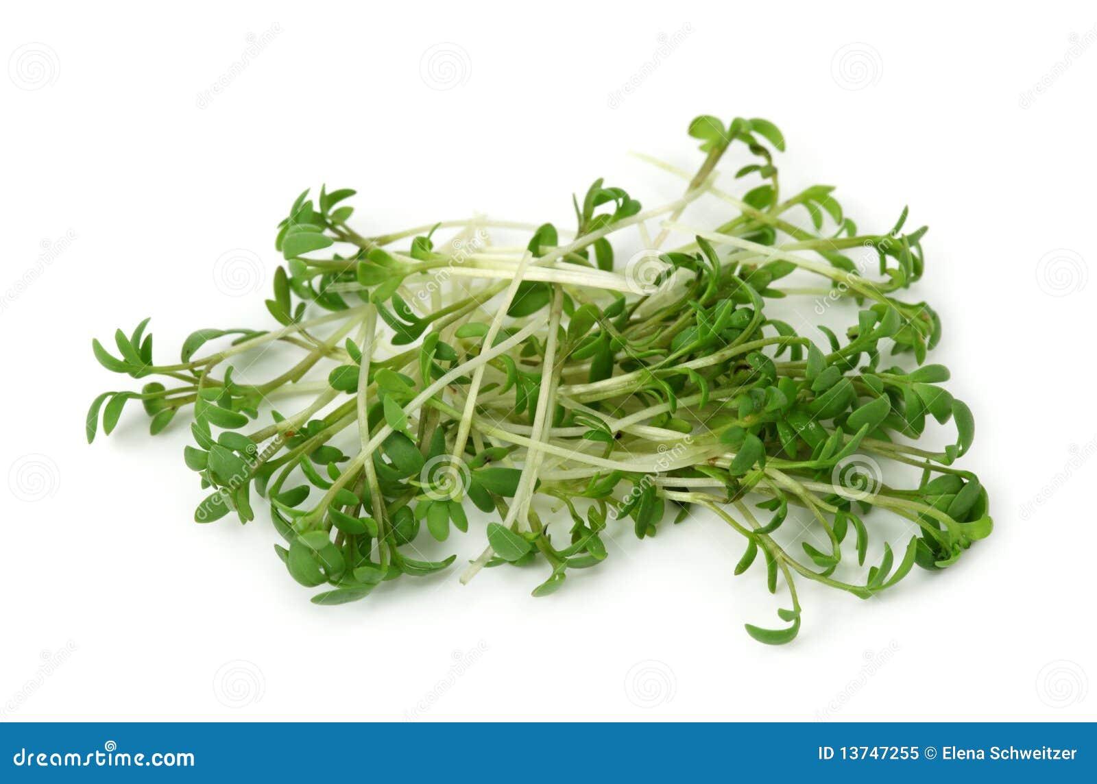Cresson de jardin image stock image du nourriture sain - Culture du cresson de jardin ...