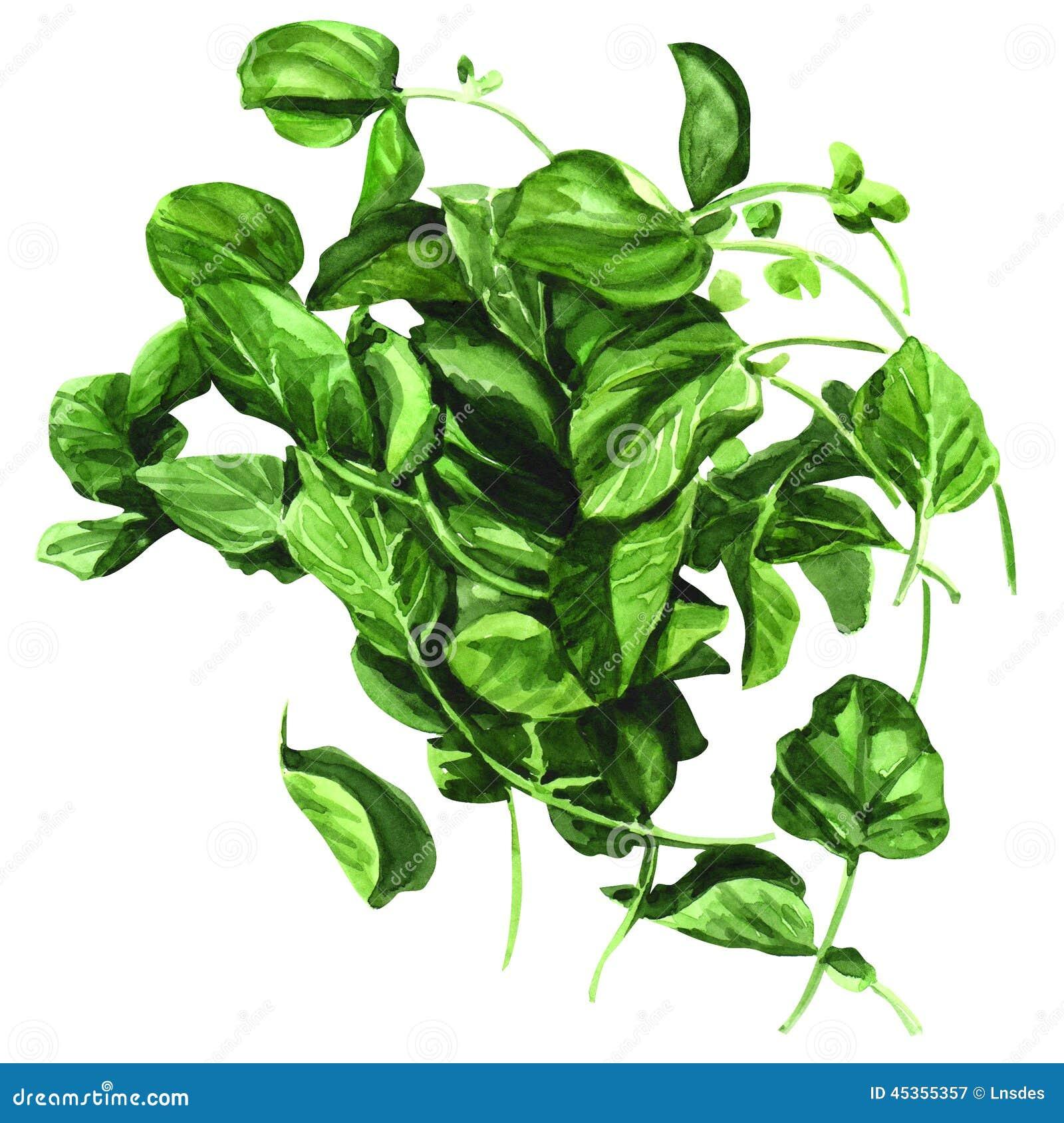 Download Cresson, Fond De Blanc D'officinale De Nasturce Illustration Stock - Illustration du nourriture, organique: 45355357