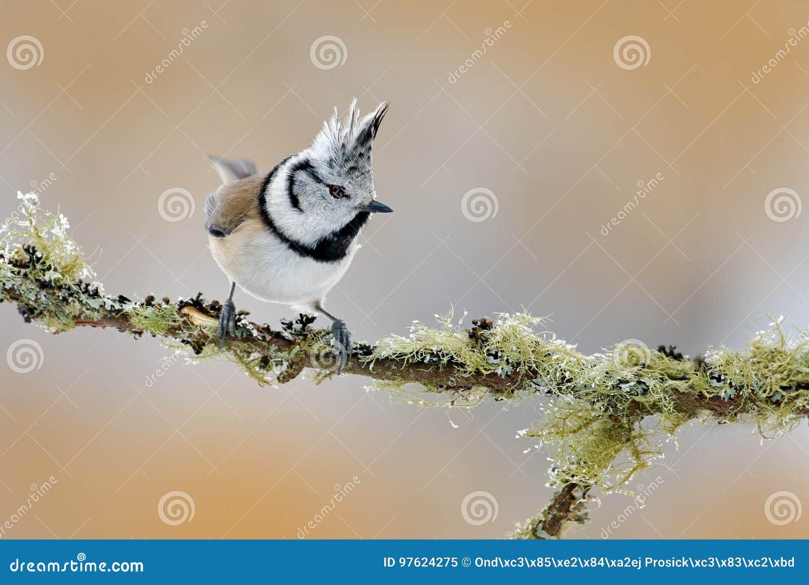 Crested синица сидя на красивой ветви лишайника с ясной предпосылкой Птица песни в среду обитания природы Портрет воробьинообразн