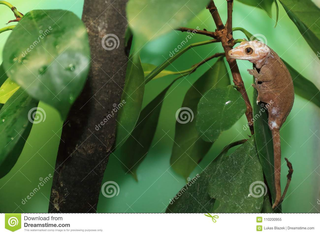 Crested Gecko Stock Image Image Of Eyelash Gecko Young 110200955