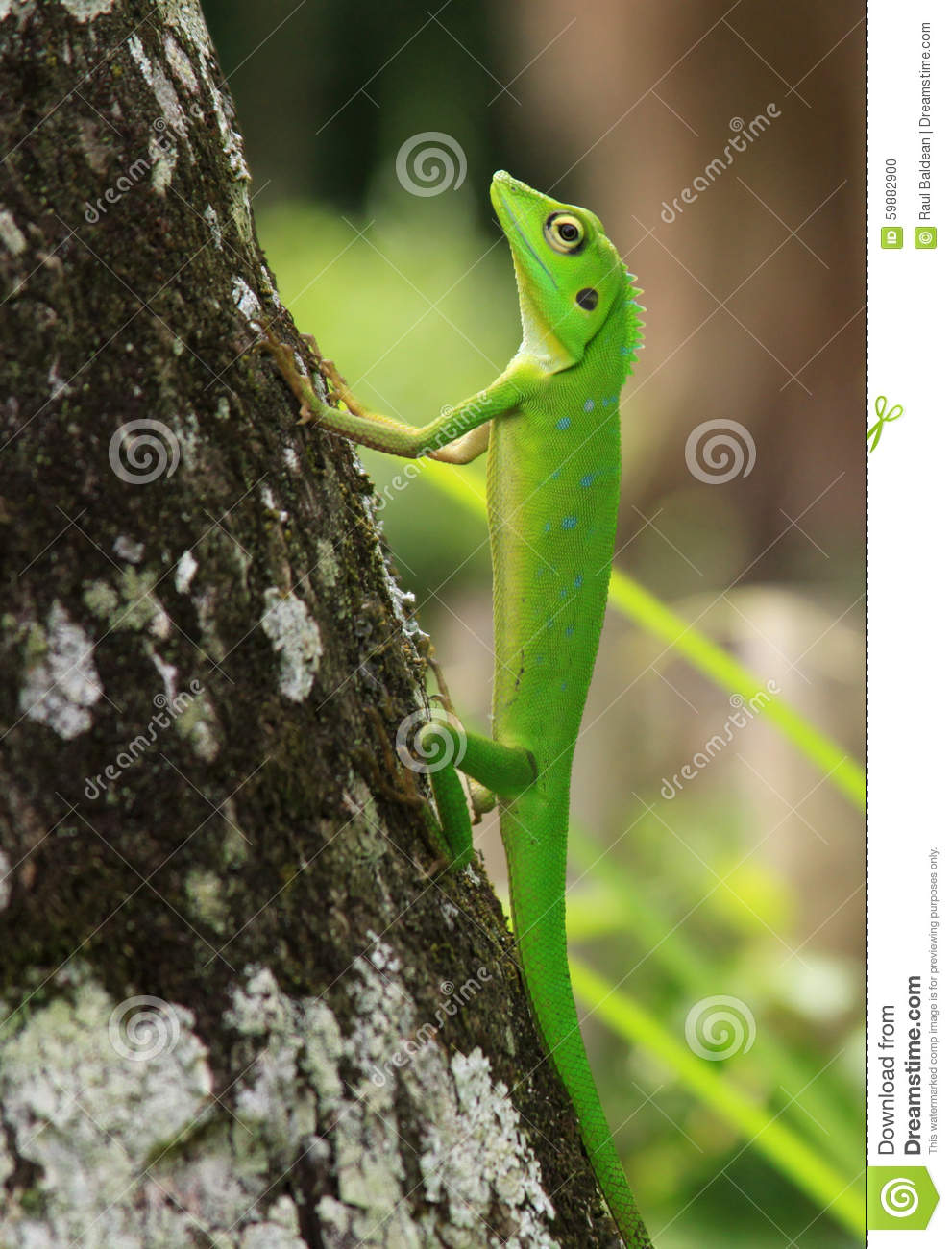 Crested green lizard on tree trunk