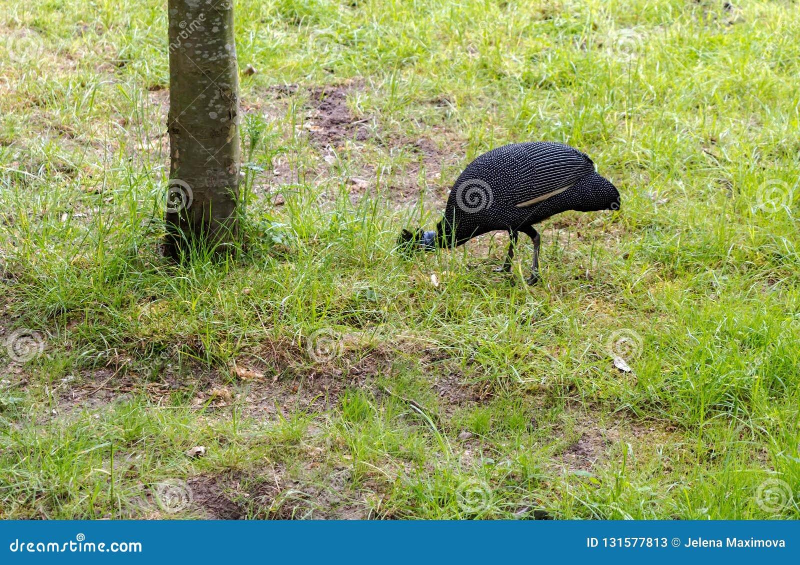 The Crested Guineafowl Guttera Pucherani Bird Looking For