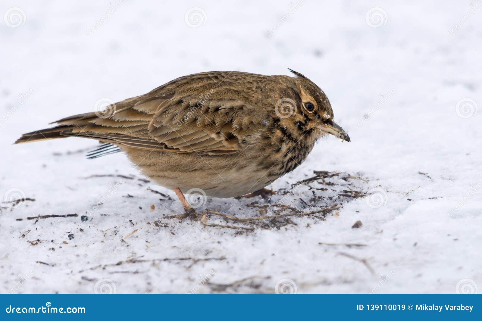 Crested Lark in search of feeding in snowy winter