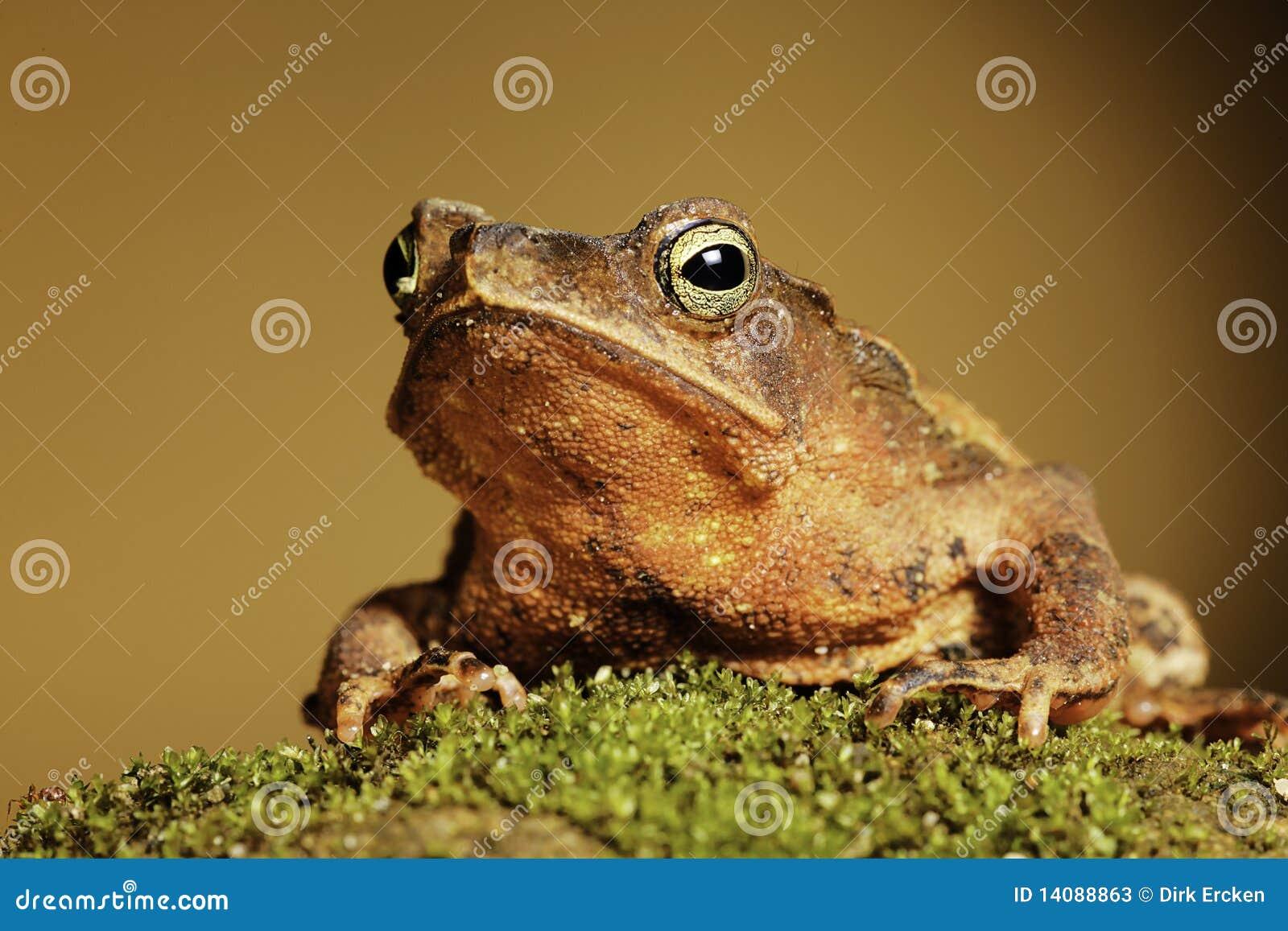 Amphibians Toads Crested toad amphibian big