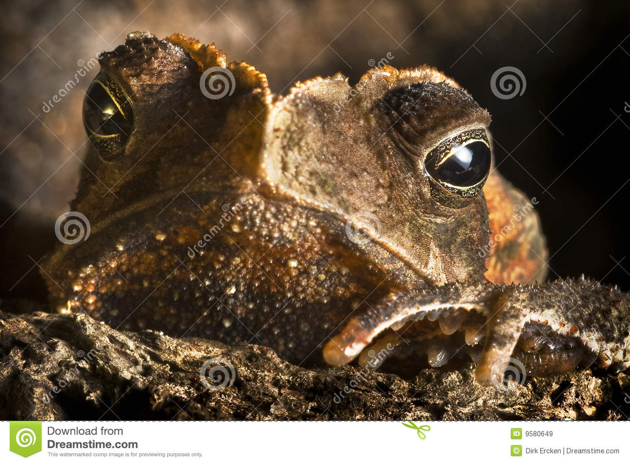 Download Crested Toad Wild Animal Close Up Big Eyes Stock Image - Image of animal, brown: 9580649