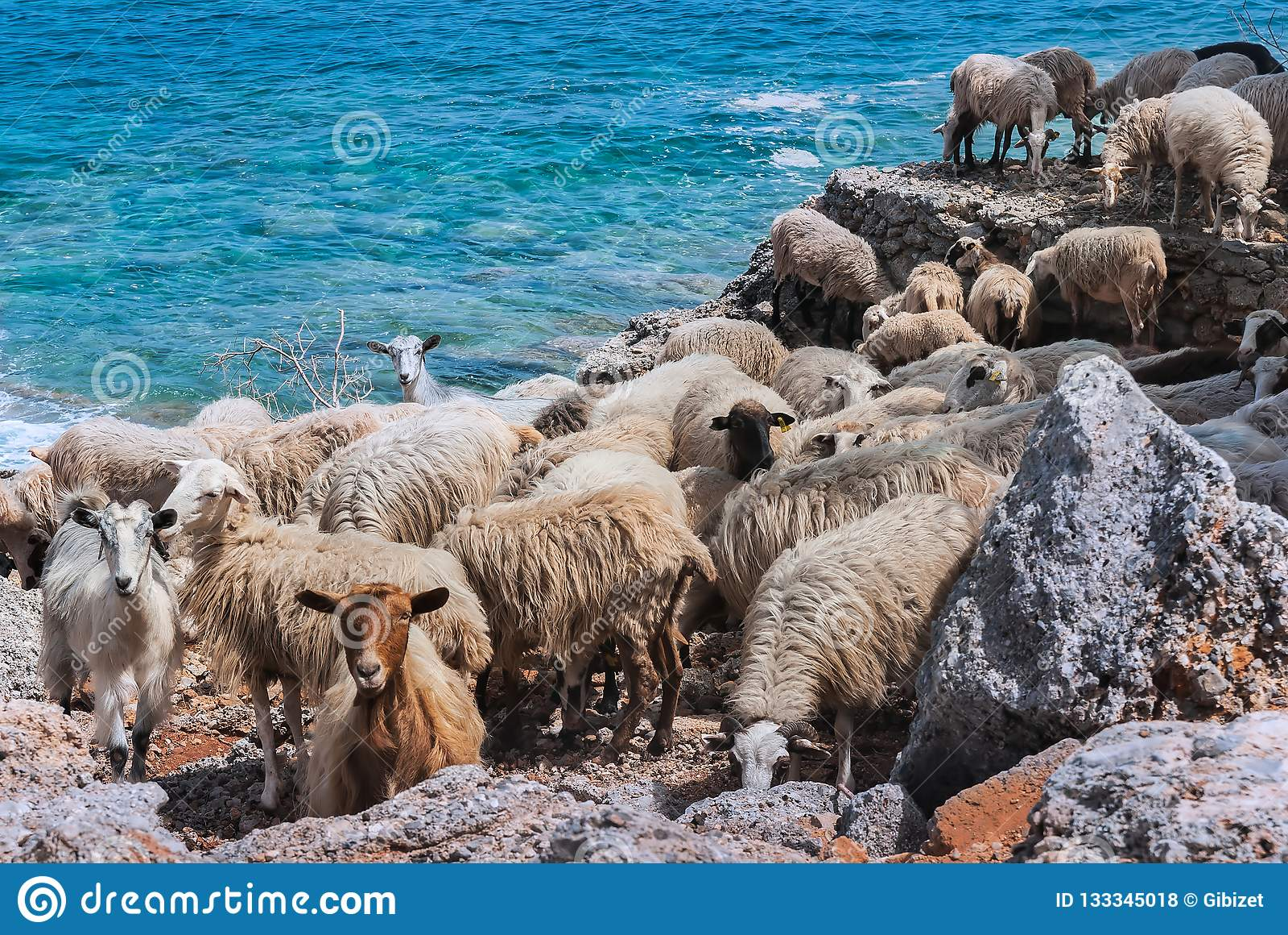 Cretan sheep by the sea