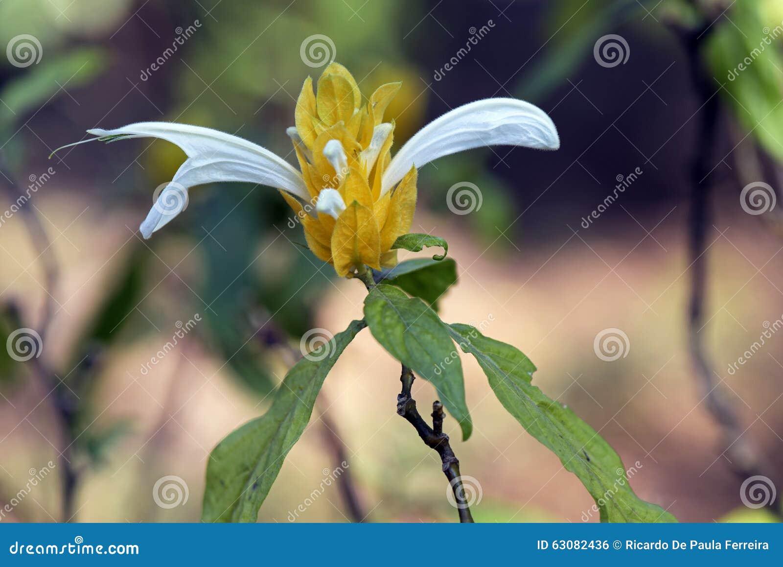 Download Crevette d'or de centrale photo stock. Image du joie - 63082436