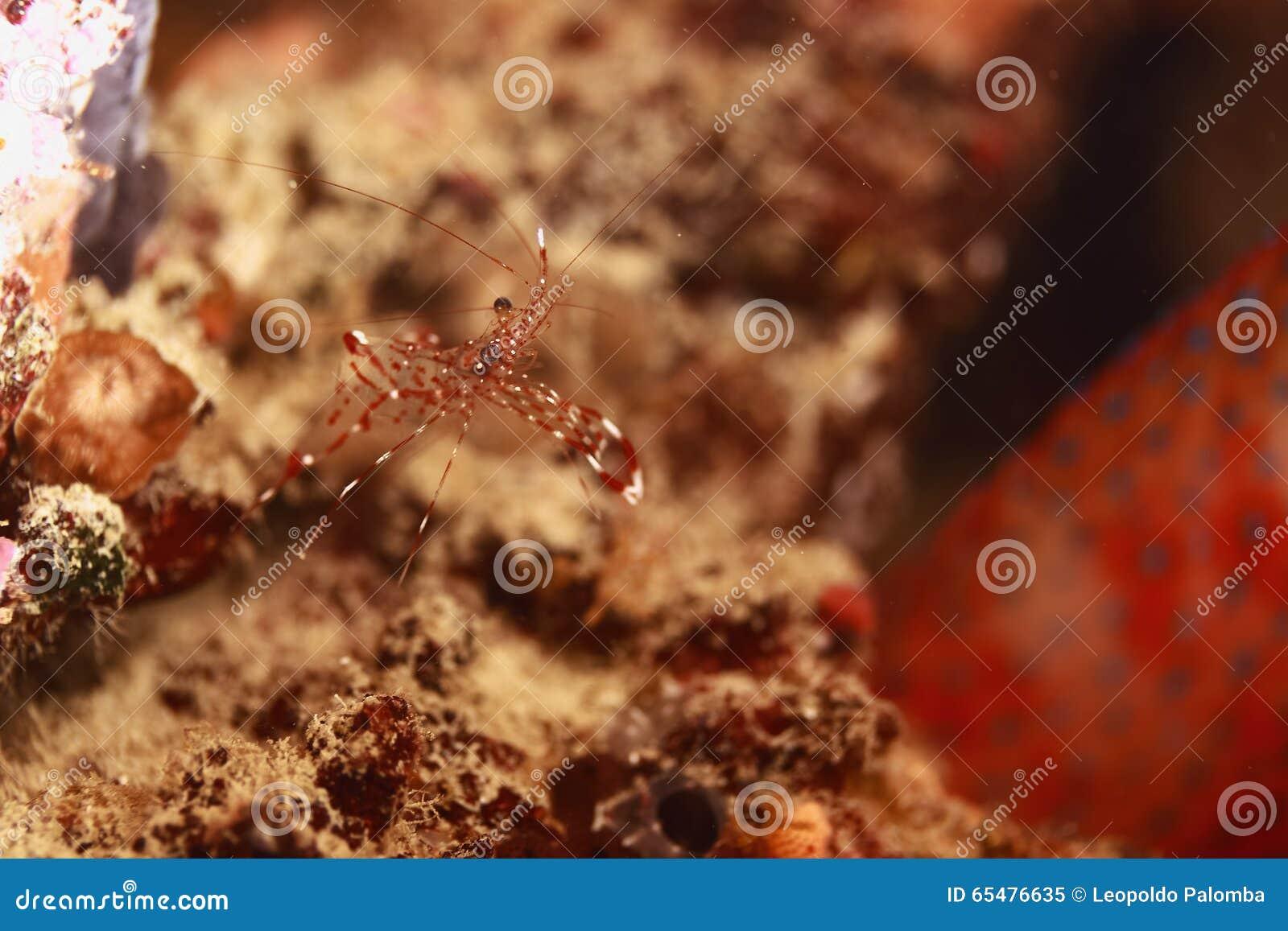 Crevette en Papouasie