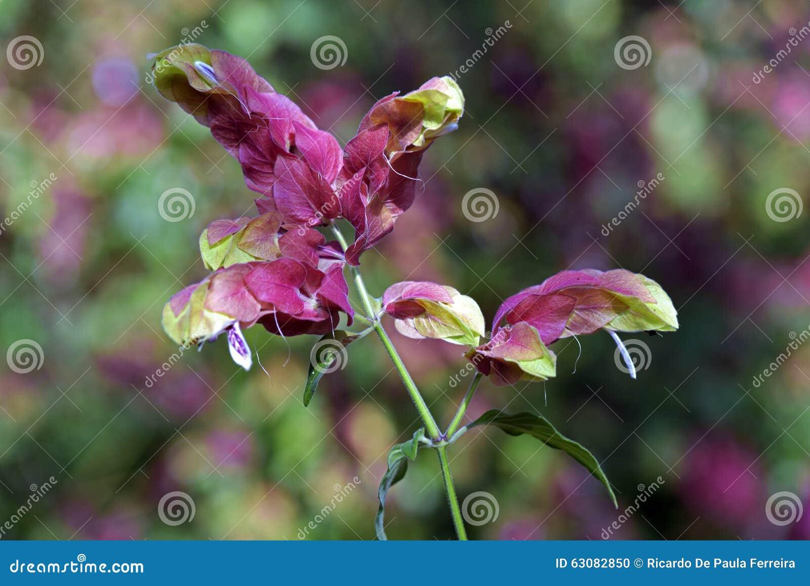 Download Crevette Ou Brandegeana Mexicaine De Justicia Photo stock - Image du detail, jardin: 63082850