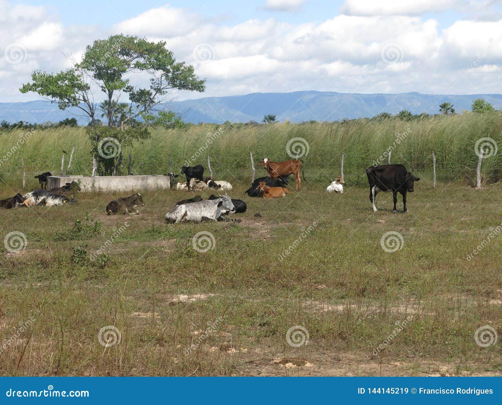 Criação de animais de gado no interior do ¡ de CearÃ