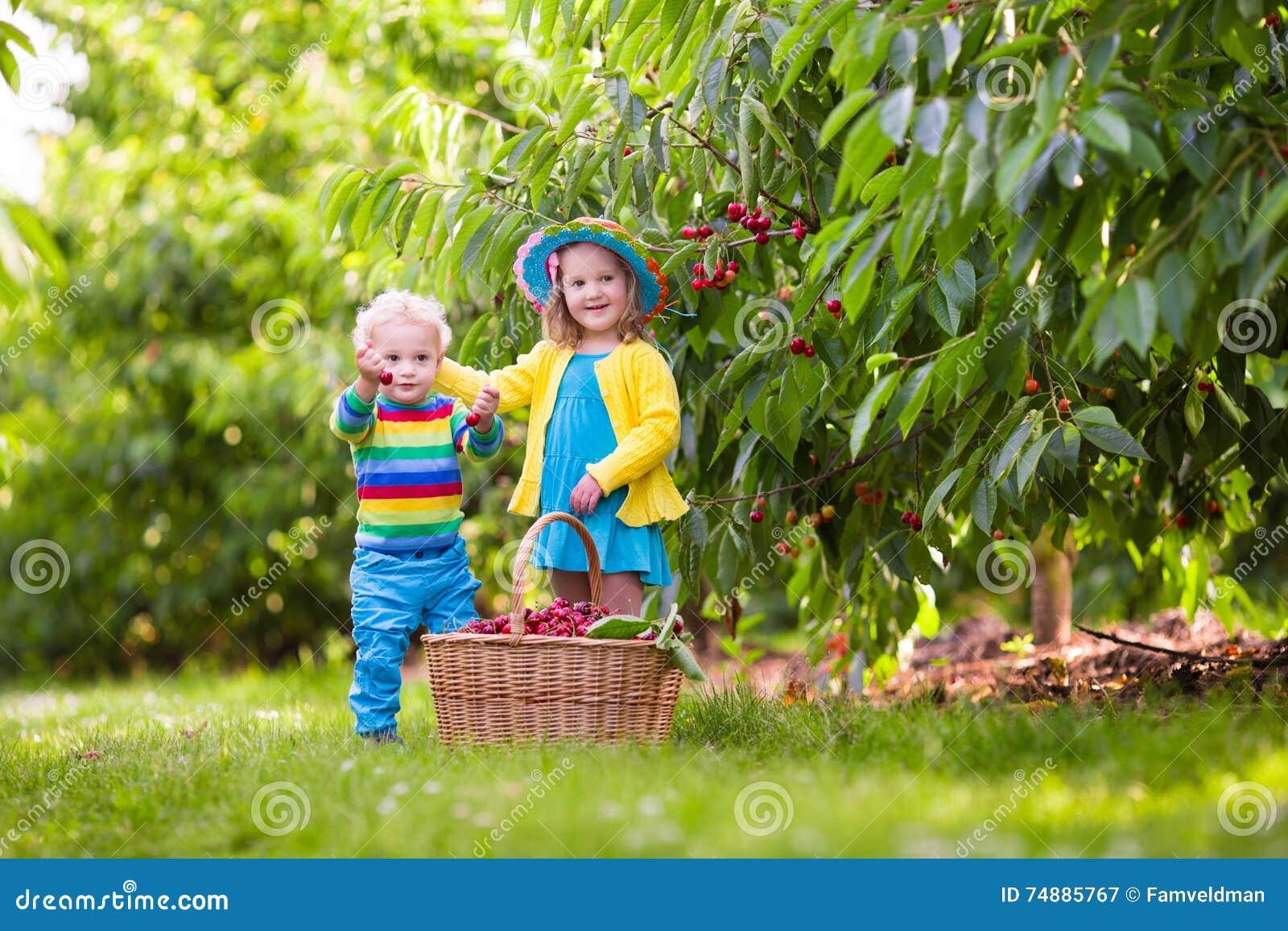 Crianças que escolhem a cereja da árvore