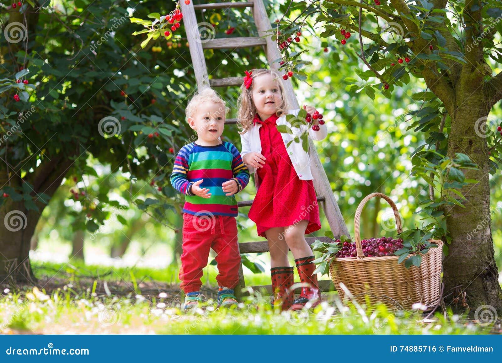 Crianças que escolhem a cereja em uma exploração agrícola do fruto